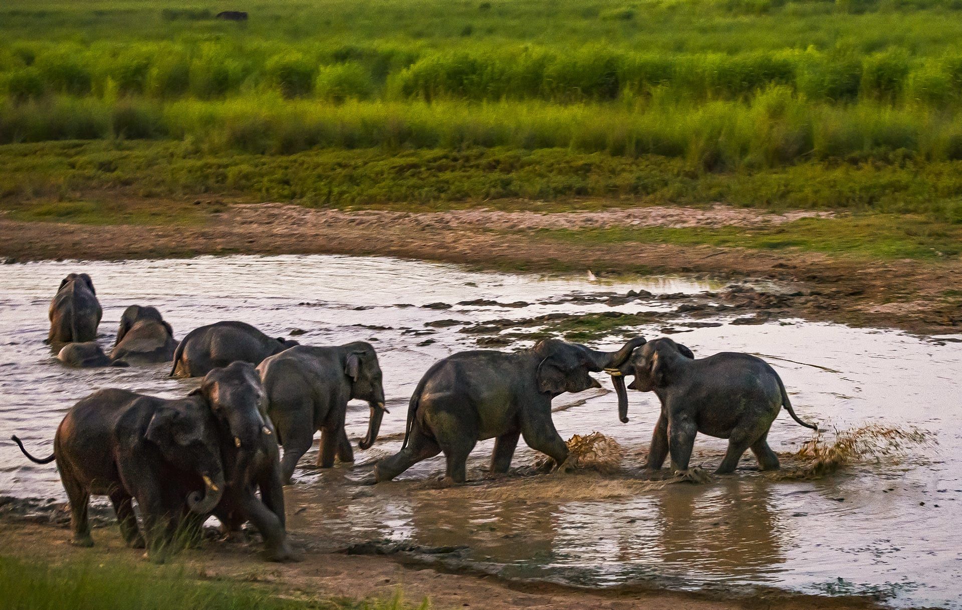 """One of the ways in which dominance is exhibited is through play. """"When they engage in this play, they learn each other's strengths and weakness,"""" says Lakshminarayanan. """"This is how ranks are set within a herd, and between herds when they meet. One bull knows that the other is more physically powerful, so he knows to back down if threatened."""""""