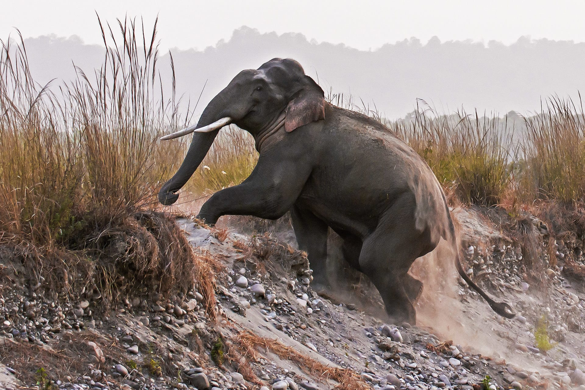 """As parts of the elephant's habitat is being usurped, instances of human-animal conflict have become a greater cause for concern among conservationists. """"During musth, their aggression levels will increase, so they are more likely to stand their ground during interactions,"""" Lakshminarayanan says. """"For example, if you encounter a bull while driving, and instead of backing away, you stand your ground and blow the horn – it might be construed as a display of dominance."""""""