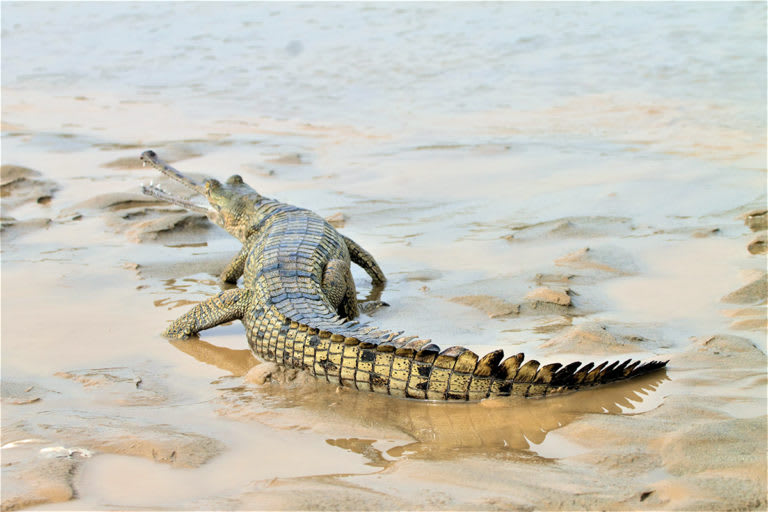 A reintroduced gharial in Punjab's Beas river. The reptile had gone locally extinct in Punjab decades ago. Photo: Department of Forests and Wildlife Preservation, Punjab.  Cover photo: The critically endangered gharial. Cover photo: Charles J Sharp, CC BY-SA 4.0