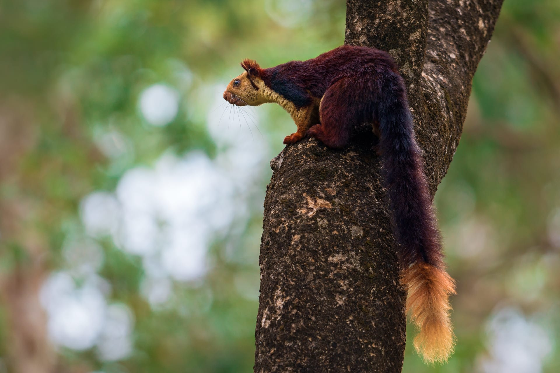 "The Indian giant squirrel (also called Malabar giant squirrel) is found only in India. This squirrel is easily encountered across the Western Ghats and parts of the Eastern Ghats and Satpura ranges. It is the state animal of Maharashtra where it is called ""shekru"" in Marathi.  Burgundy, maroon, black, cream – the fur of the Indian giant squirrel varies according to where it occurs, and from one individual to another in the same location. ""We visited a couple of sites and looked at many Indian giant squirrels in those sites. We found high variability in their coat colouration within these sites,"" says Rajamani. Her Sciurid Lab project uses published images from across the animal's range to describe the colour variations and morphs of these giant squirrels. ""Indian giant squirrels that you see as you go further south in India tend to be darker, with a lot of black fur on their backs. You don't see such dark individuals as much in northern Maharashtra. Even within a site, like the Anaimalais, fur colour can vary from one individual to another,"" she adds. Photo: Soumabrata Moulick  Cover photo: Saurabh Sawant"