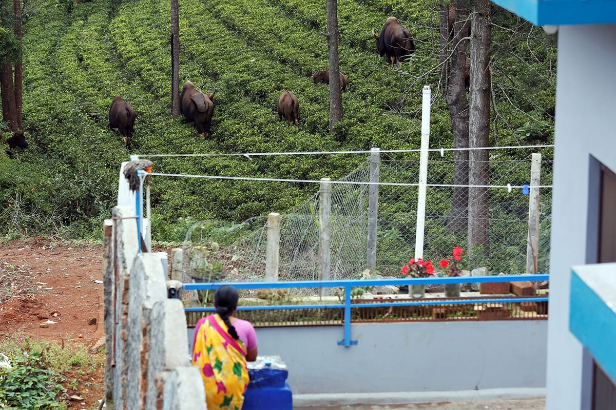 A herd of gaur or the Indian bison in a tea plantation near a house in Coonoor. Photo: Abhishek N. Chinnappa for Mongabay