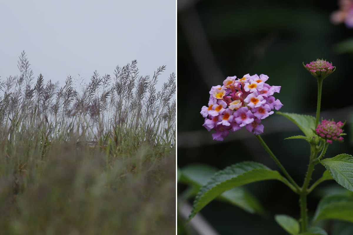 The depletion of grass (L) and invasion of lantana (R) in the gaur's natural habitats is considered to be one of the reasons the animal moved into agricultural areas for food. Photos: Abhishek N. Chinnappa for Mongabay