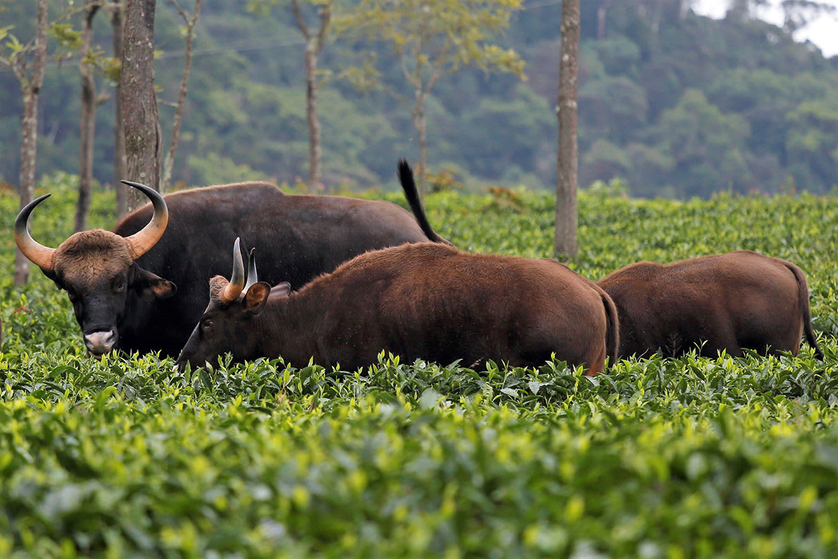 Gaurs in a tea estate in Coonoor, Tamil Nadu. Considered to be the world's largest bovine, the gaur receives the same protection as the tiger under Indian laws. Photo: Abhishek N. Chinnappa for Mongabay