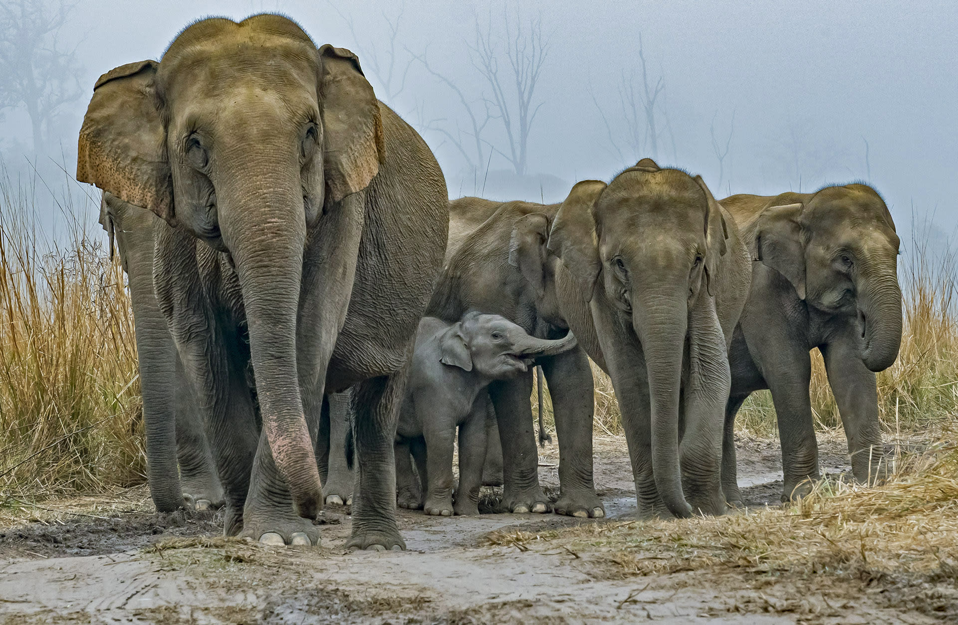 """Elephants also use an array of sounds to communicate with each other, ranging from loud trumpets and roars to softer rumbles and squeals. """"The variety of sounds that elephants can produce ranges in frequency from 10 to 14 Hz to 9000 Hz, and as loud as 103 decibels at 5 m from source,"""" write Vidya and Sukumar.  Different sounds have different purposes. Joshi says, """"Trumpeting occurs when elephants attack, when they are surprised, and when an individual has gone the wrong way and feels that it has lost contact with the herd,"""" but they also trumpet when they are in good spirits. In his study, Joshi notes that solitary bulls often trumpet in the """"early morning hours when they are in cheerful humour."""""""