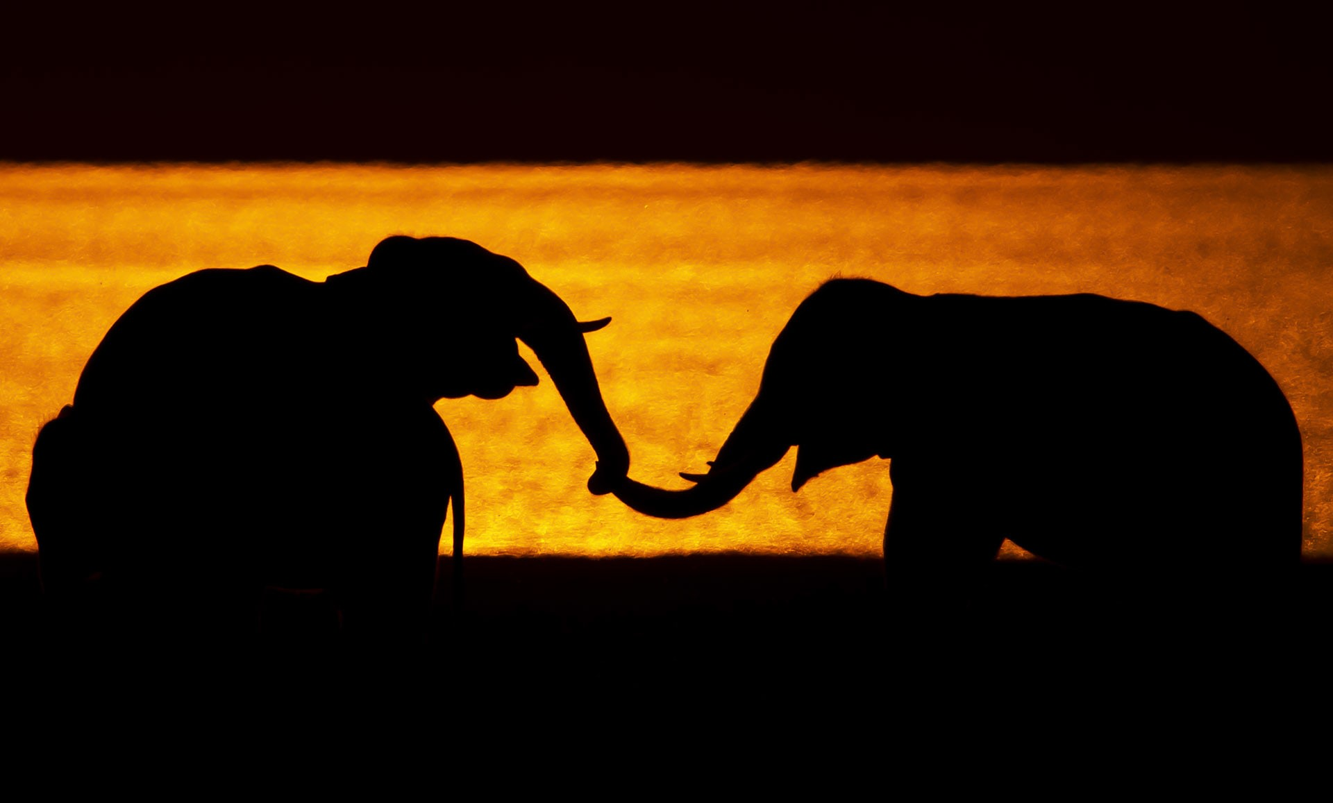 """Tactile communication, or communication by touch, is what """"elephants use to exhibit reassurance, affection and affiliation, exploration, aggression, and play,"""" write TNC Vidya and R Sukumar in a paper on social and reproductive behaviour of elephants published in Current Science . """"The trunk tip is placed on another elephant's mouth during reassurance, and on the ears, mouth, eyes, tail, and body, while greeting family members that were separated for a while."""" Tactile communication is often used between mothers and calves and among young elephants during play."""