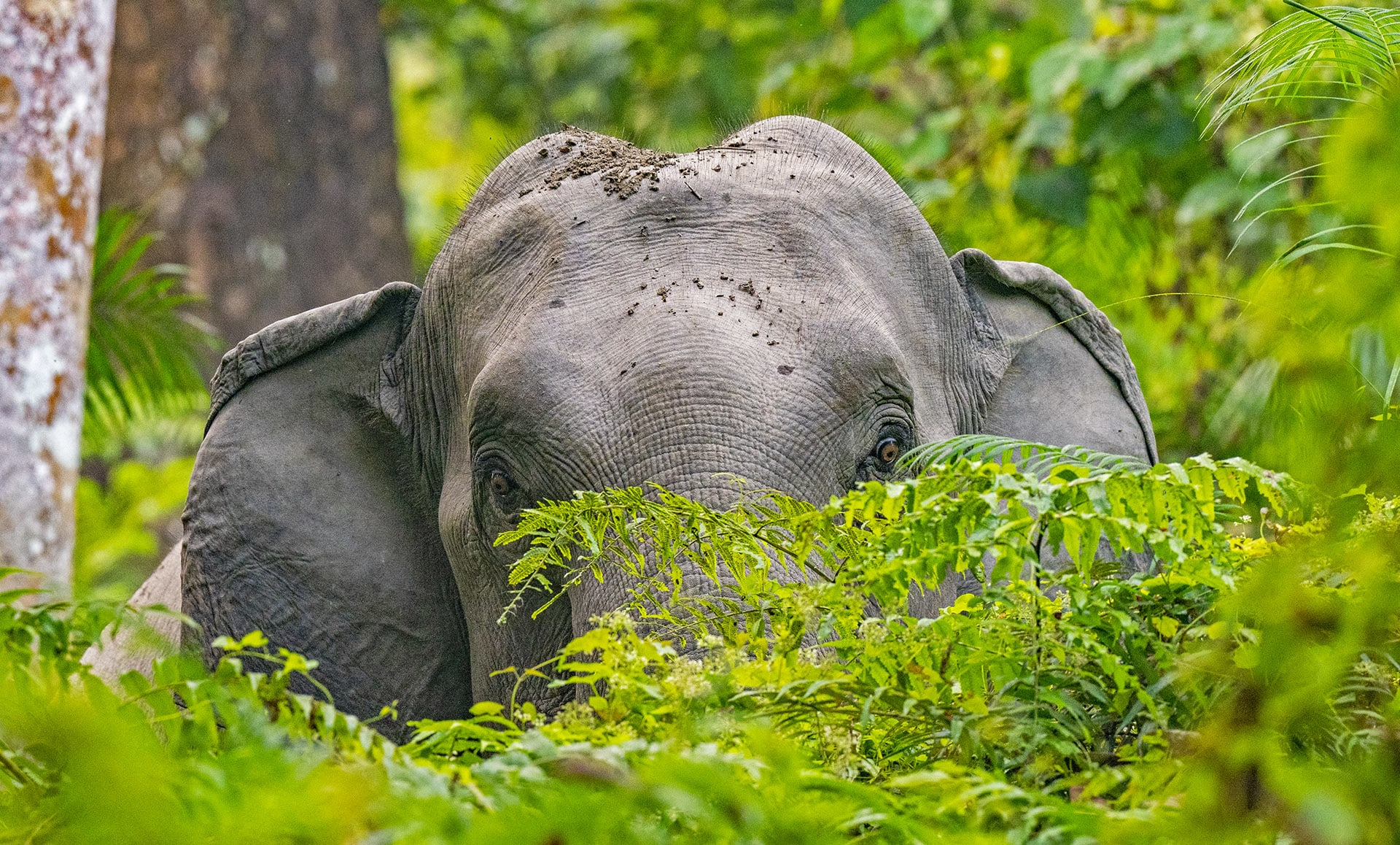 """""""A significant proportion of acoustic communication of both Asian and African elephants occurs through the use of low-frequency"""" sounds according to Vidya and Sukumar. Infrasound, which is undetectable by the human ear, is especially useful in dense forest habitats as it travels through objects such as trees, as opposed to being reflected by them. Many species including whales, crocodiles, and some birds use infrasound to communicate."""