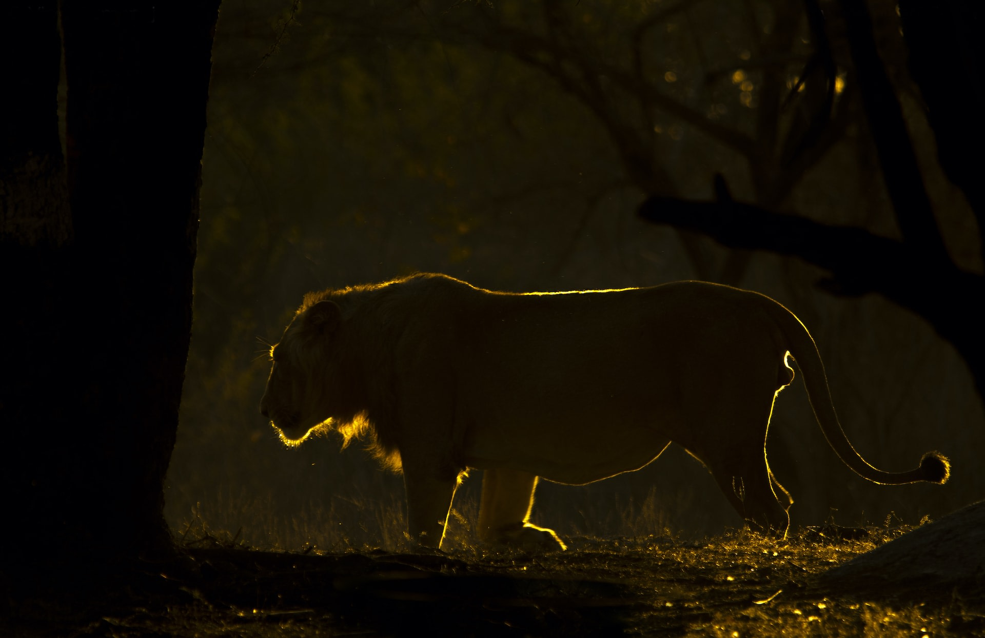 Single lions don't stand a chance against bands of two or more males. Photo: Vipul Ramanuj  Cover Photo: Forming masculine partnerships is crucial to lion survival in Gir National Park. Cover Photo: Peter Theobald