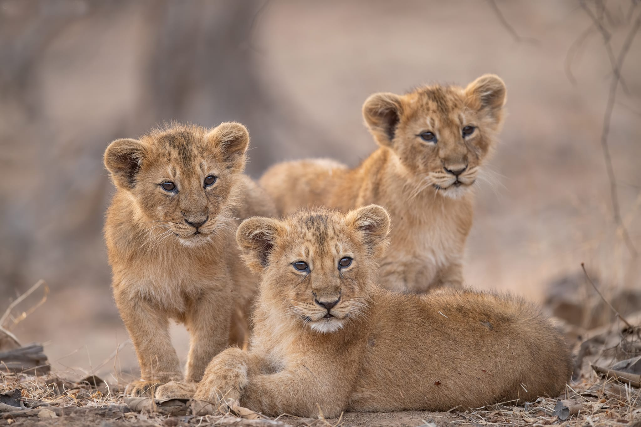 Many cubs die before their first birthday, and more lose their lives before they turn three, the age of independence. Young male survivors usually find themselves alone. Photo: Vipul Ramanuj
