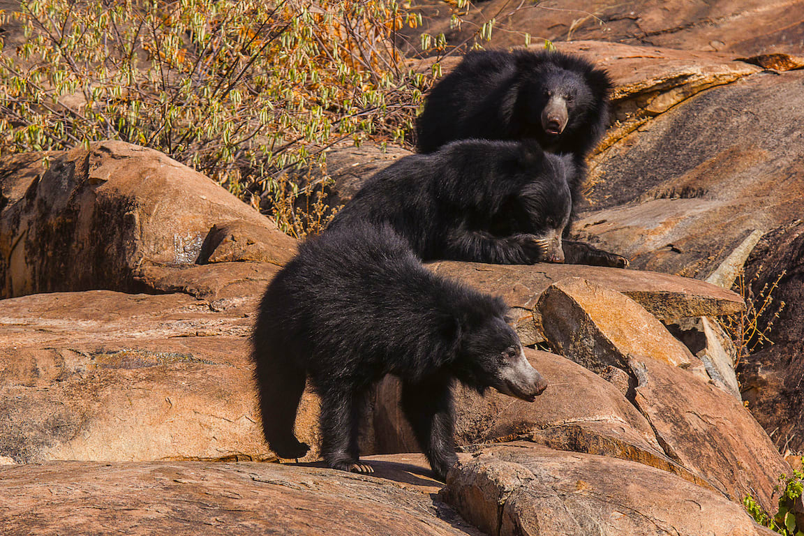 In recent years, increasing encroachment of sloth bear habitat has heightened human-animal conflict and caused deaths of both humans and bears. Representational image from Daroji Sloth Bear Sanctuary. Photo: Gangadhar A G/Shutterstock