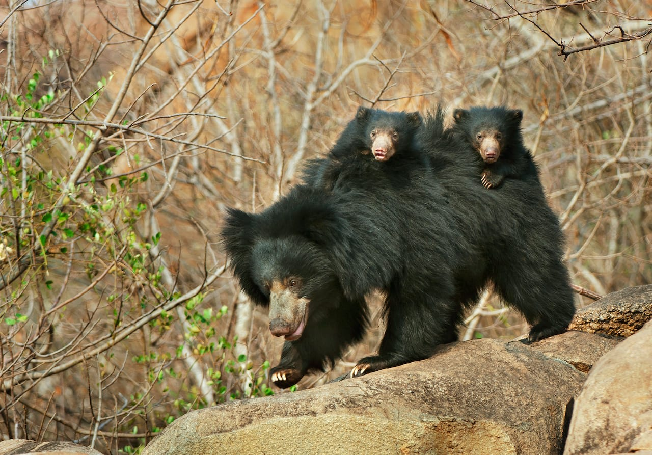 The Jessore Sloth Bear Sanctuary in Gujarat is just about 10 km from the southern edge of Mount Abu, and bears routinely use this corridor across the two states (Rajasthan and Gujarat). Representational image from Daroji Sloth Bear Sanctuary. Photo: RealityImages/Shutterstock