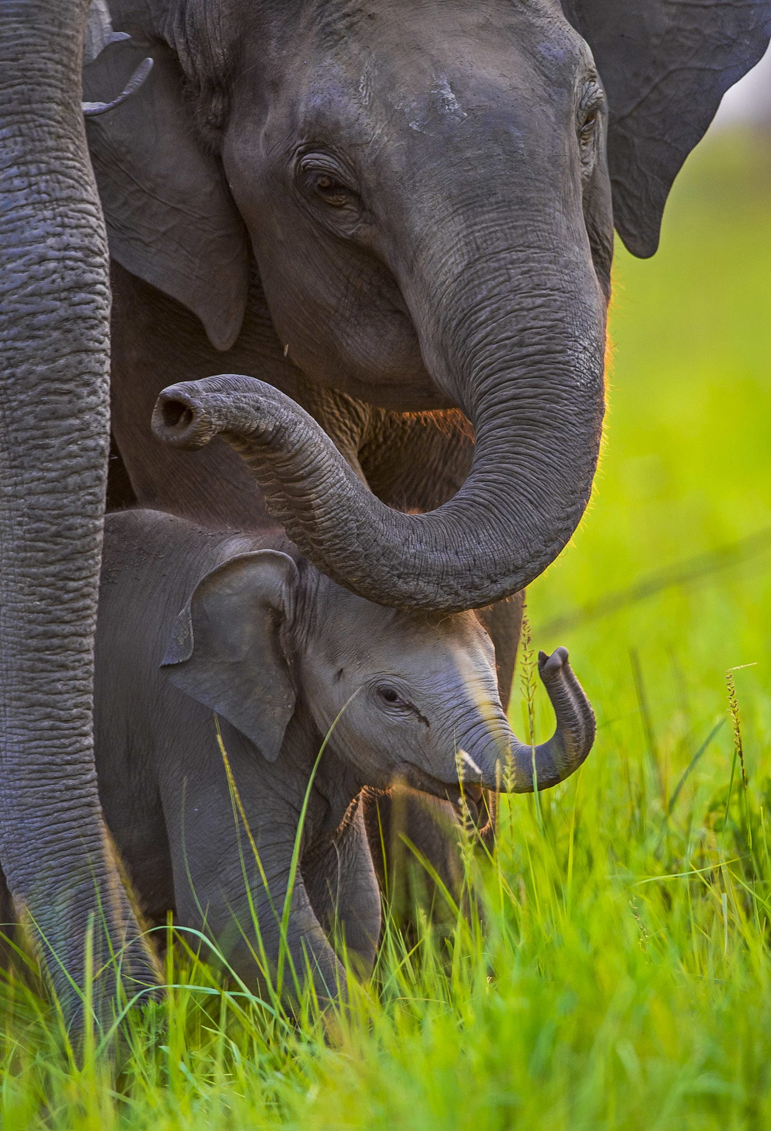 """Like many other animals, elephants engage in """"love play"""", says Joshi, which includes mixing of bull elephants in the group, selecting a prospective partner to mate with, the smelling of genitals, sniffing urine and dung, touching the trunk especially the temporal gland, and discharge of urine. """"Long duration of love play and secretion of urine are important factors"""" promoting successful mating behaviour, he states."""