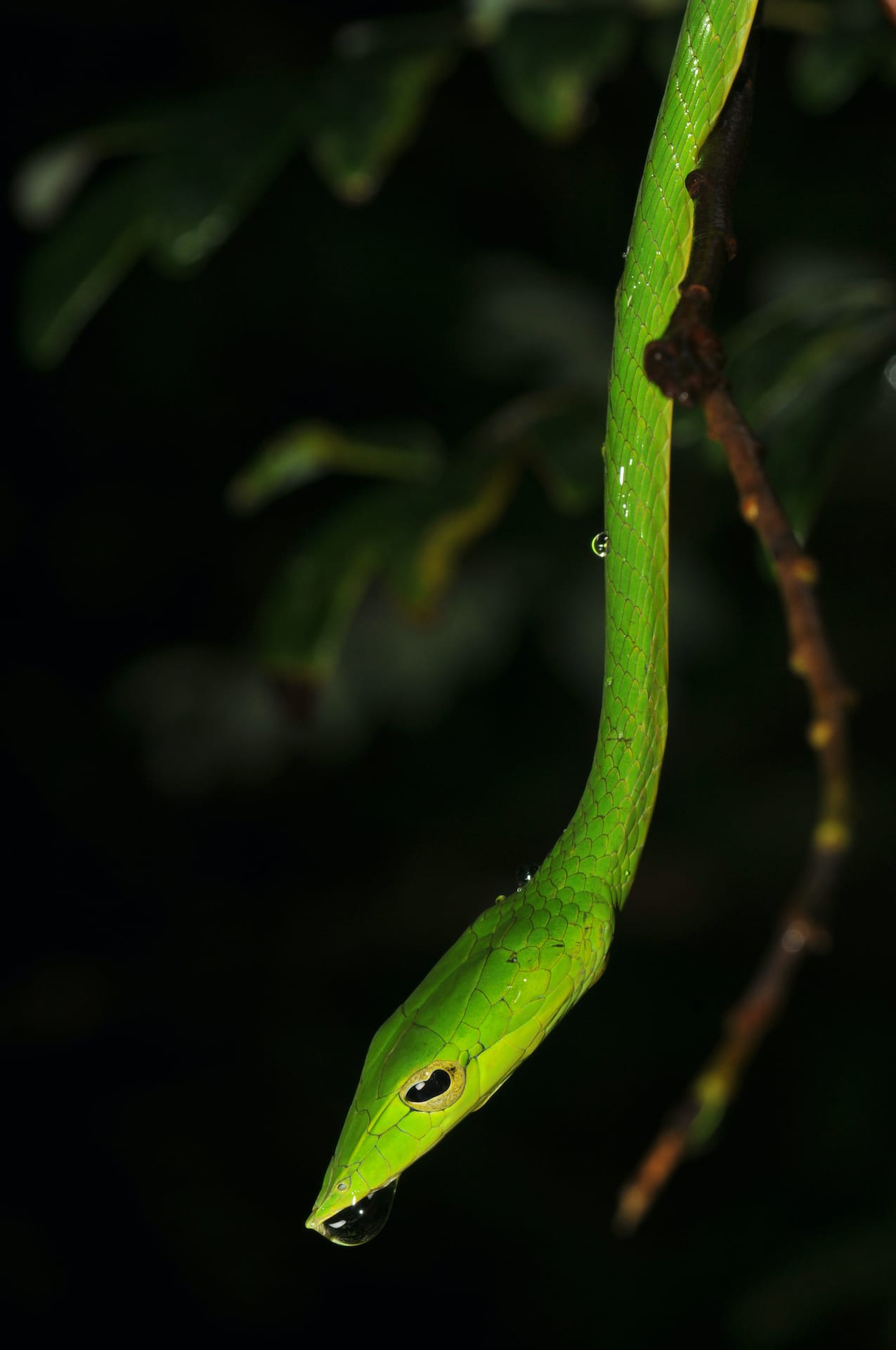 The green vine snake's (Ahaetulla nasuta) pointed snout and forward facing eyes give it binocular vision. This, along with it colour, gliding motion and slender body make it perfect for its arboreal lifestyle.  Cover photo: The bronzeback tree snake (Dendrelaphis tristis) has two ridges near the edges of its ventral (belly) scales that enable it to grip even the faintest hold, enabling it to climb effortlessly up seemingly smooth surfaces.