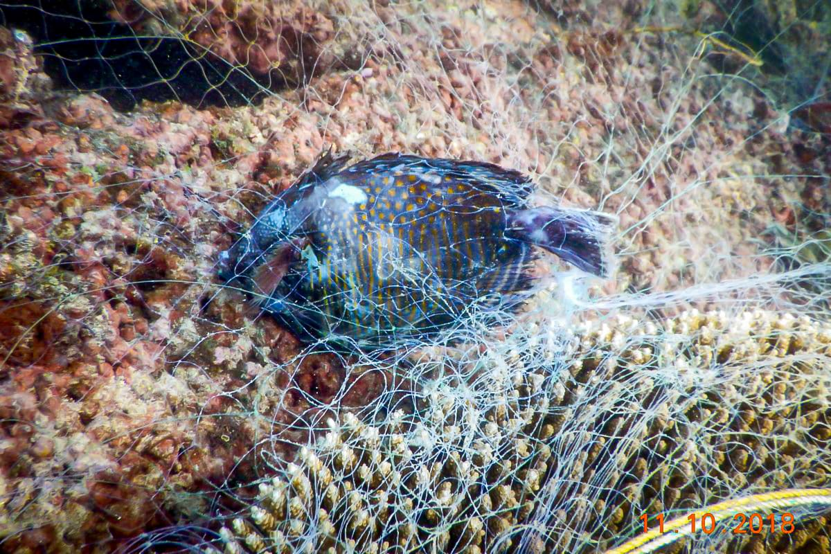 A fish caught in the ghost net decays underwater in the Gulf of Mannar. Photo courtesy: SDMRI  Cover photo: A ghost net entangled in branching coral in the waters of the Gulf of Mannar. Cover photo courtesy: SDMRI