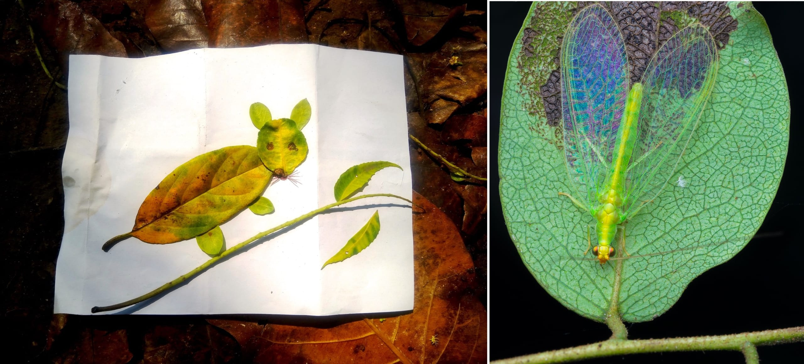 Using fallen leaves to make art with nature (left) is a great way to observe and build a connection with nature. Carefully exploring the underside of leaves can also reveal creatures like this delicate green lacewing (right).  Photos: Divya Candade (left), Hayath Mohammed (right)