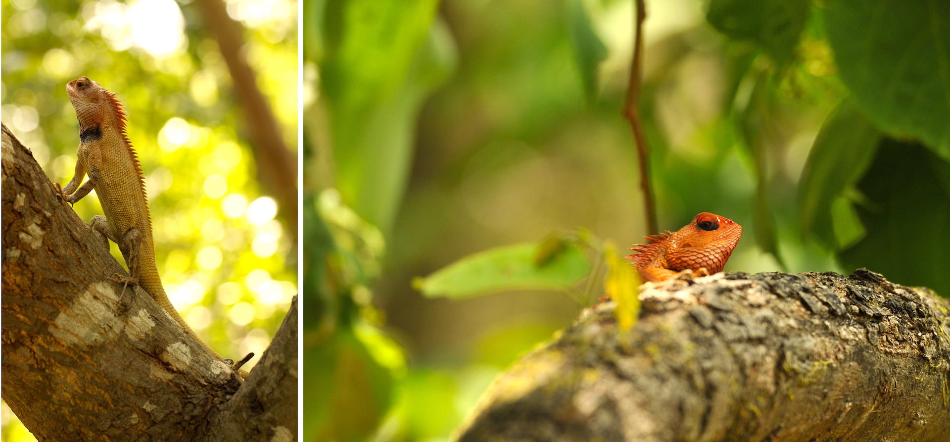(Left) A male oriental garden lizard common garden lizard (Calotes versicolor) stands high on his perch to let females and other males know that this is his territory. (Right) Male common garden lizards develop a red colour on their heads and necks during the breeding season.