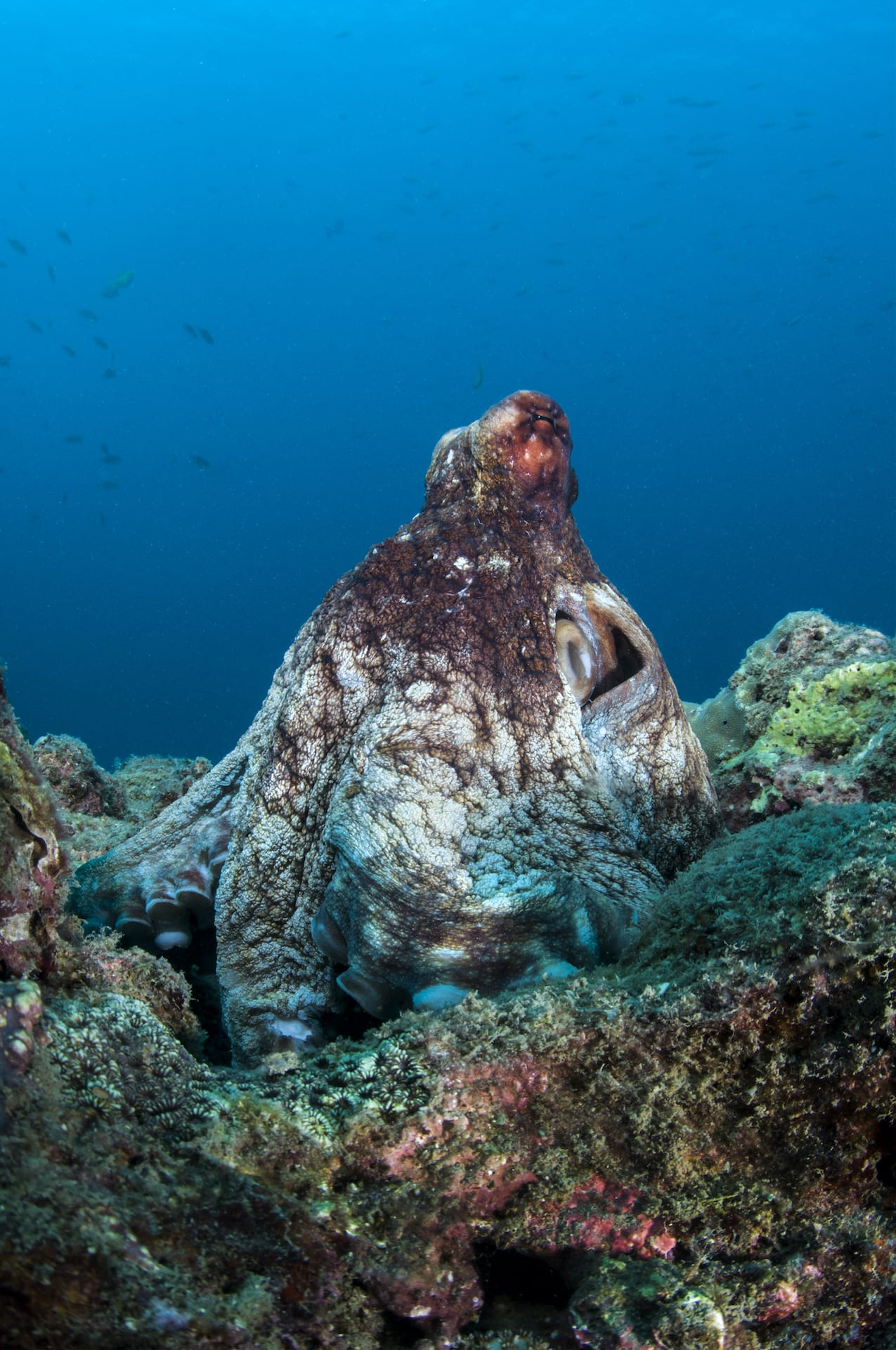 Octopuses use their eight limbs to crawl along the ocean's floor, sticking their arms into gaps and holes in search of food. This photograph was taken on the Andaman reefs, where the common reef octopus (Octopus cyanea)  is widespread, though it is hard to conclusively identify the octopus in this frame. Photo: Tasneem Khan  Cover photo: The octopus is a round-bodied, eight-armed mollusc that lives on the ocean floor. Occasionally some species step out of the sea to hunt in tidepools. Cover photo: Dhritiman Mukherjee