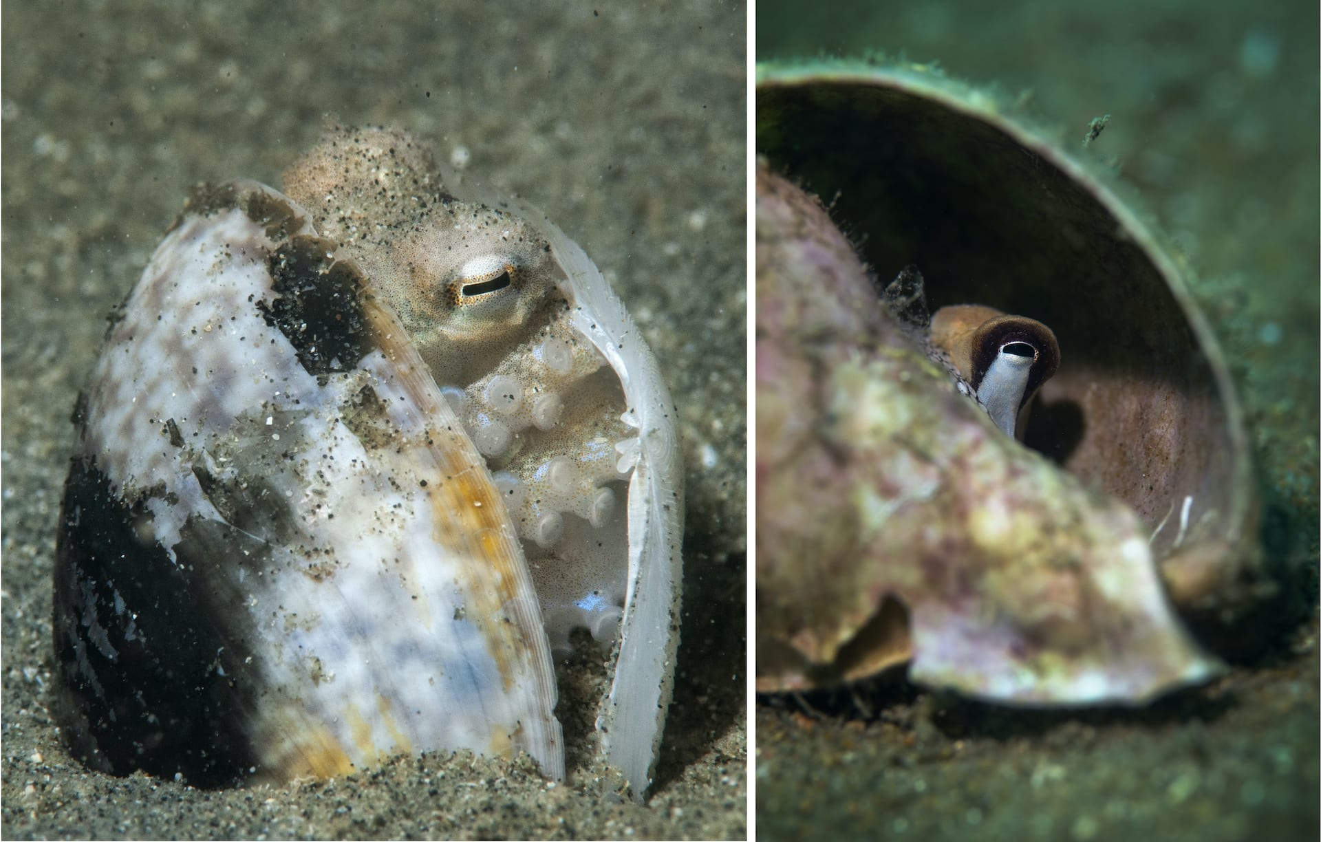 (Left) Coconut octopuses (Amphioctopus marginatus)  often use abandoned coconut shells as defensive fortresses to hide in or protect themselves from predators. They also use empty clam or conch shells. (Right) An octopus peeps out of a conch shell that it has taken refuge in. Photos: Umeed Mistry