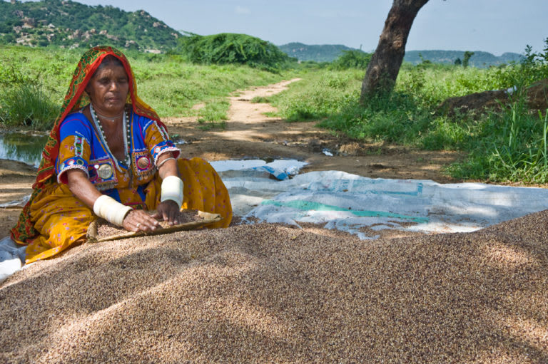 A tribal woman cleaning grains in Andhra Pradesh. Photo: ICRISAT/Flickr (Featured image)  Cover photo: Tendu leaf is an important component of the non-timber forest products on which the livelihoods of tribal communities and forest dwellers is based. Cover photo: Subodhkiran/Wikimedia Commons