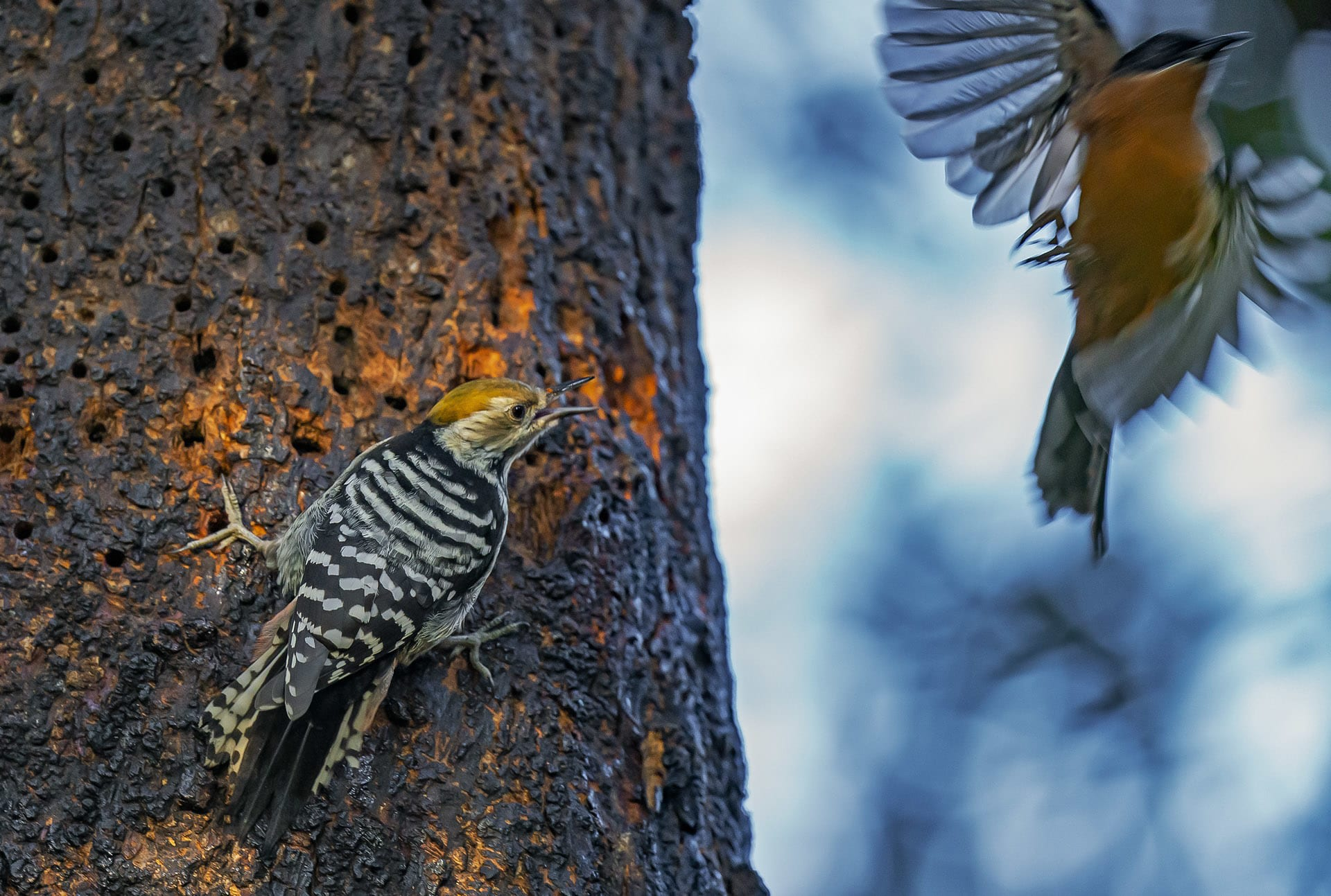 """The brown-fronted woodpecker (Dendrocoptes auriceps) is one of the smaller members of the pack. With prized trees like the moru oak, different species of woodpeckers must learn to share the spoils. Researchers have found that in places where multiple species of woodpeckers coexist, they amicably split their food resources — with different species will forage at different heights on different parts of the tree.  A tree that attracts woodpeckers, is bound to have several cavities. """"The cavity creating ability of woodpeckers is highly underrated,"""" says Kumar. They create two kinds of cavities — shallow ones for roosting, and deep ones with enlarged vertical chambers for nesting that can usually accommodate parent woodpeckers and up to four young ones. """"There's huge competition for these cavities from not just other birds such as owls, mynas, hornbills or tits that don't build their own nests, but also mammals such as bats, palm civets, squirrels, and reptiles such as snakes and monitor lizards,"""" says Kumar."""