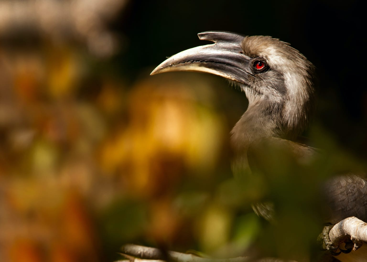 The Indian grey hornbill has grey feathers, a black-and-yellow bill, red iris, and beautiful eyelashes. Males have a larger casque than females. Photo: Anuradha Marwah/Shutterstock  Cover: Measuring around 55-70 cm, the Indian grey hornbill is one of nine species of hornbills found in India. Cover photo: Surya Ramachandran