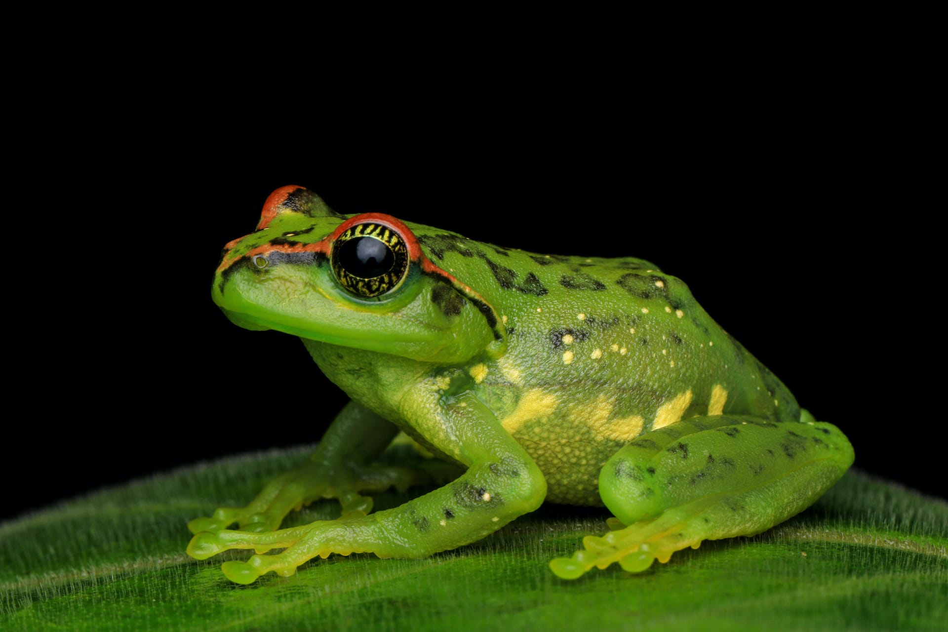 The star-eyed tree frog (Ghatixalus asterops) has a golden star-like pattern on its iris. Found in the southern Western Ghats, this frog is green as a juvenile and grey-brown with patches as an adult. Photo: Sebinster Francis