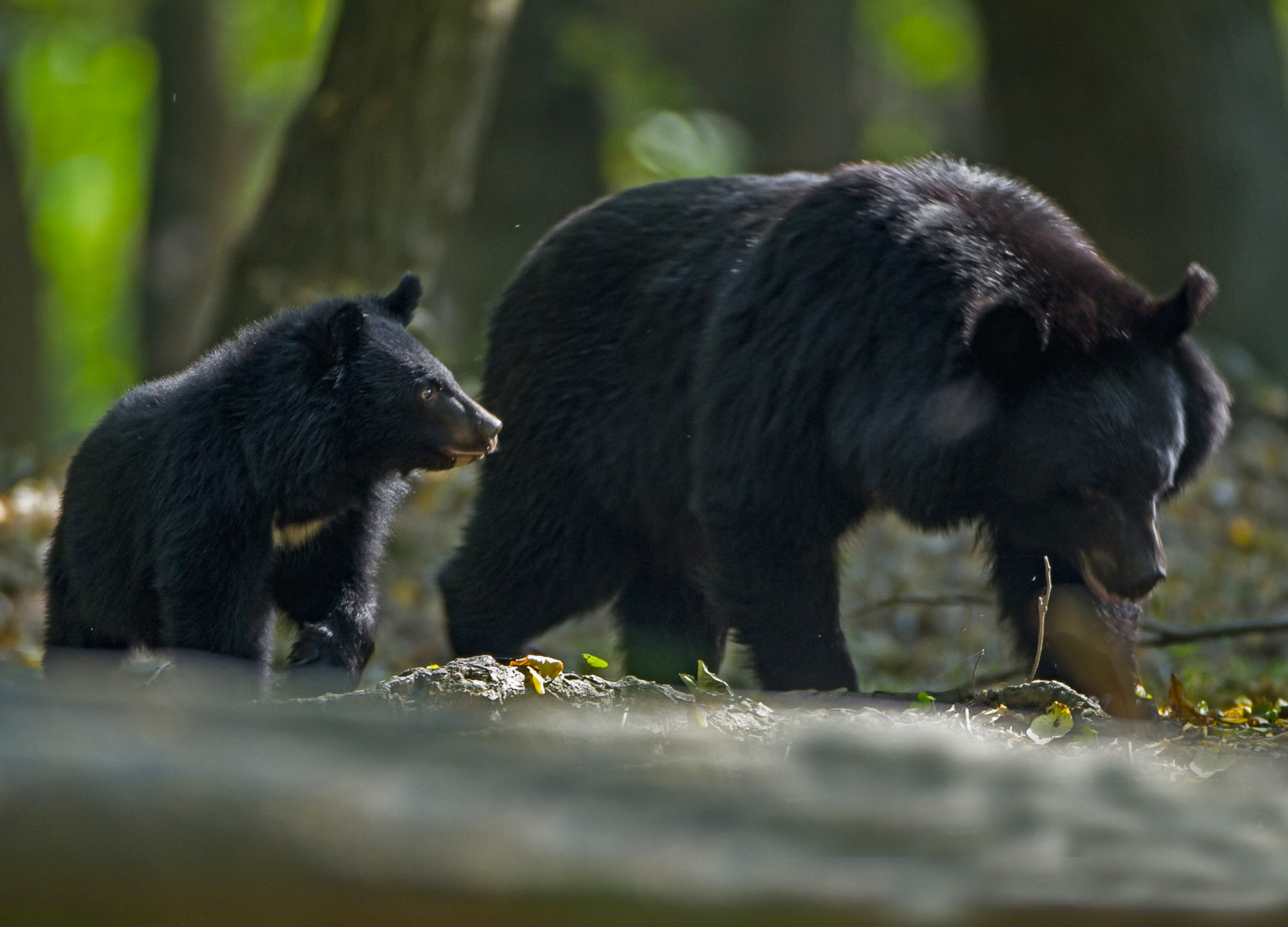 When the cubs are socialised into the ursine way of life and it is time for the mother to mate again, the family unit is broken up through the process of dispersion. Eventually, males will travel outside their mother's home range to establish their own territories and rank. Females, on the other hand, occupy a part of the mother's home range.