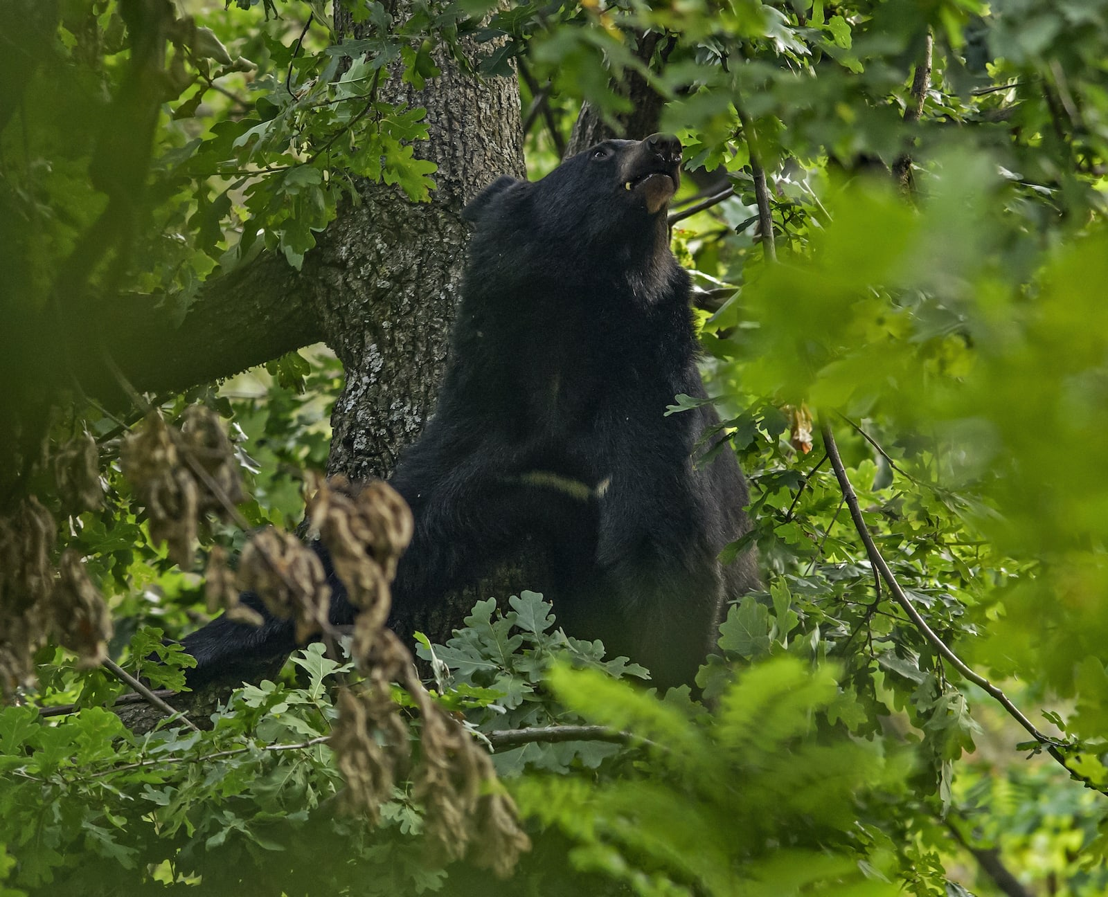 Unfortunately for the Asiatic bears, their habitat is shrinking. In a study by Sitaram Phuyal, the Nepali author cites two primary threats to their ecosystem: natural events such as landslides, forest fires, erosion, and climate change; and manmade factors, including deforestation and woodland degradation, over grazing, shifting cultivation, and the over-consumption of plants favoured by the Himalayan black bear.