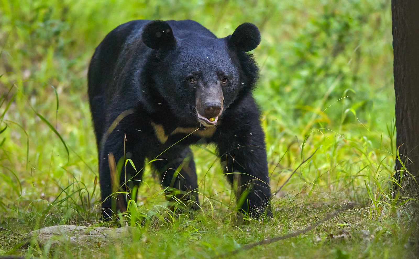 """Asiatic black bears are opportunistic feeders and consume fruits, berries, roots, nuts, honey, and small invertebrates, depending on the time of year. """"Ursus thibetanus is placed under carnivore but except [the] polar bear, most bears are opportunistic omnivores,"""" write authors Vijay Kumar Yadav, DS Chauhan, and PC Lakhera in a research paper on the bears in Nanda Devi Biosphere, Uttarakhand. They mainly feed """"on fleshy plant material rich in energy, insects, fish, and mammals etc."""" they say."""