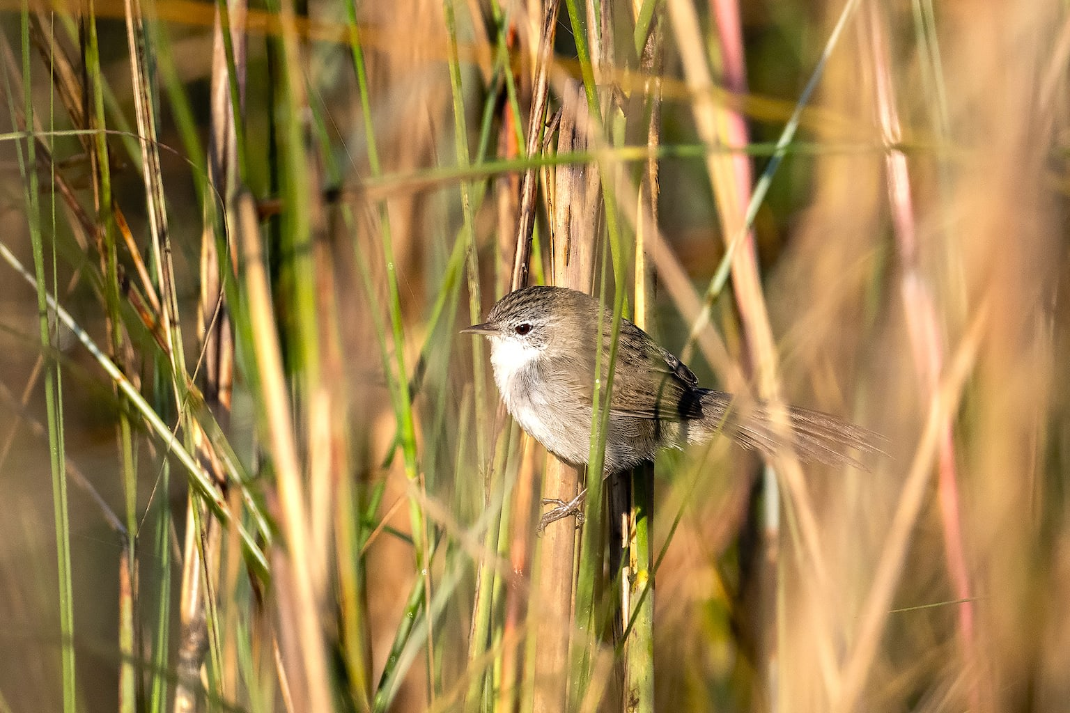 Previously identified as swamp prinia, the swamp grass babbler (Laticilla cinerascens) is one of the most threatened birds of the landscape. It is shy and hides in deep beds of tall grasses, especially elephant grasses. Often the only way to notice its presence is by its chirpy, melodious song. Photo: Rofikul Islam
