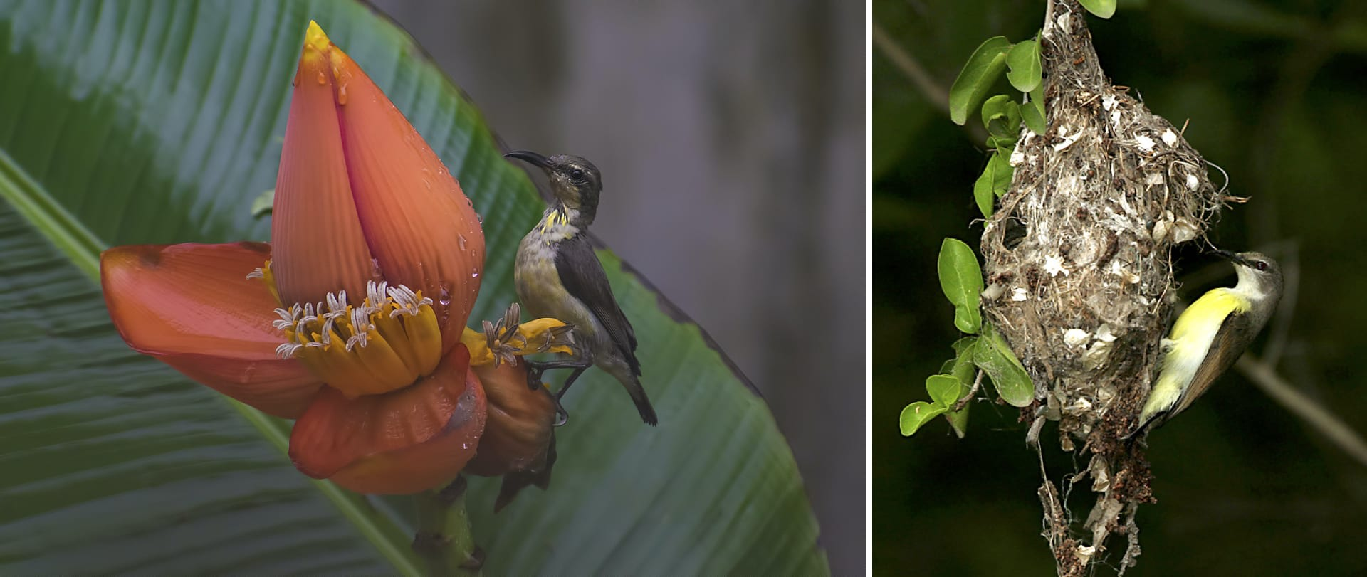 (Left) The female purple sunbird is olive brown above with a yellowish underside. Sunbirds need to perch to feed, unlike hummingbirds that can feed while hovering over a flower. (Right) Sunbirds use plant fibre, cobwebs, and other stray bits they find to build their nests. They usually suspend the nest from thorny plants, which provides some defence against predators. It is the female (purple-rumped sunbird picture here) that does all the hard work of building the nest. Photos: Arijit Mondal (left), J.M.Garg, CC BY-SA 4.0 (right)