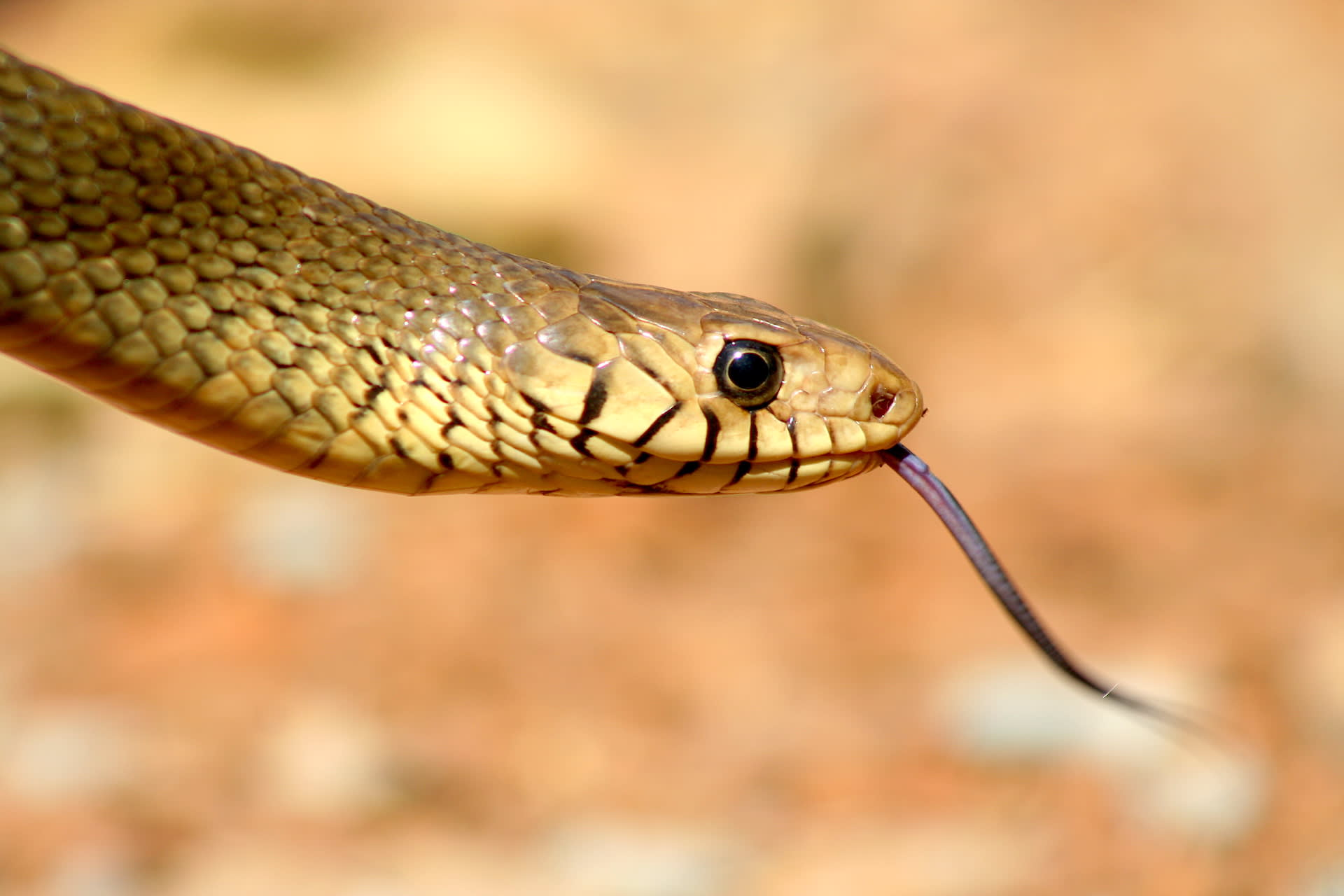 "Rat snakes will puff their throats up in response to an attacker, to look larger, while ""growling"" as a warning.  Photo: Saunak Pal  Cover photo: The rat snake is often mistaken for a cobra, but the black lines between the scales on its lip are a sure-fire way of distinguishing it from its venomous cousin.  Cover photo: Rajesh Sanap"