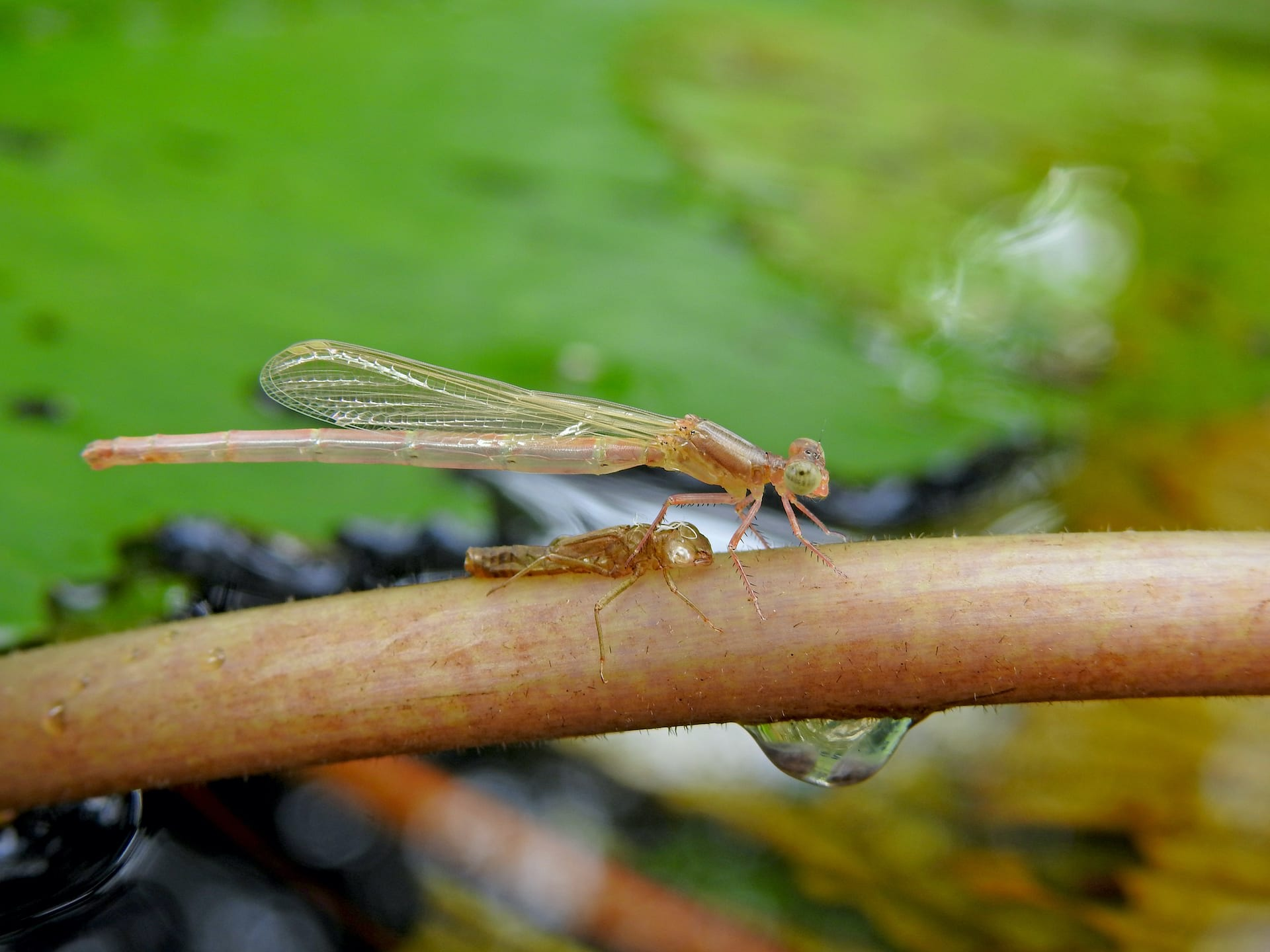A damselfy emerges from its final nymphal stage. It is delicate, sans colours, and is known as a teneral at this stage. The nymphal case or exuvia, that is left behind is proof that the species has completed its lifecycle in the waterbody. Photo: Vivek Chandran A