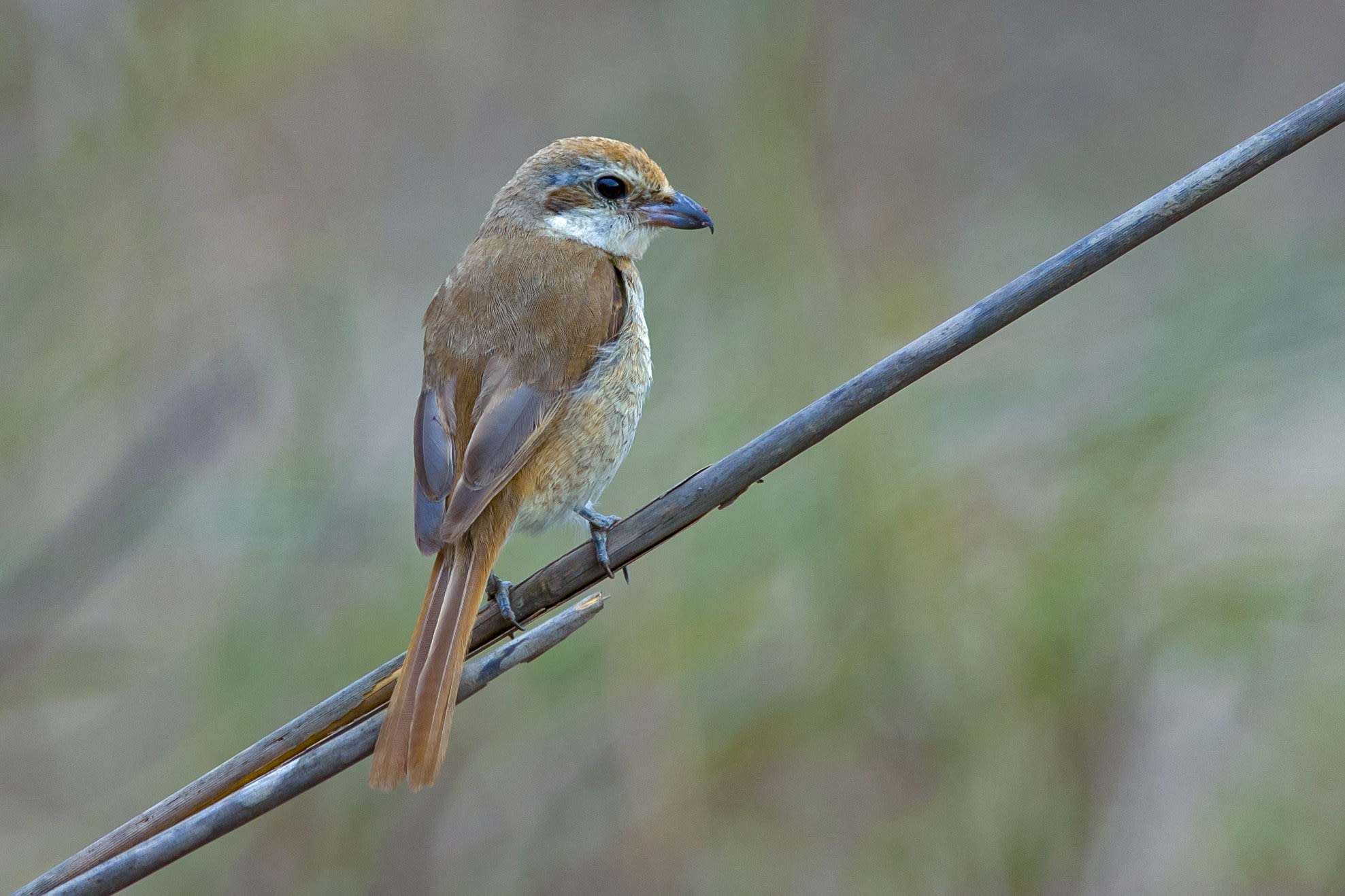 The brown shrike breeds in northern Asia from Mongolia to Siberia, and travels to South Asia during the winters. However, some records show that it has also been spotted in as far as Alaska.  This bird was photographed in Kanha National Park. Photo: Dhritiman Mukherjee