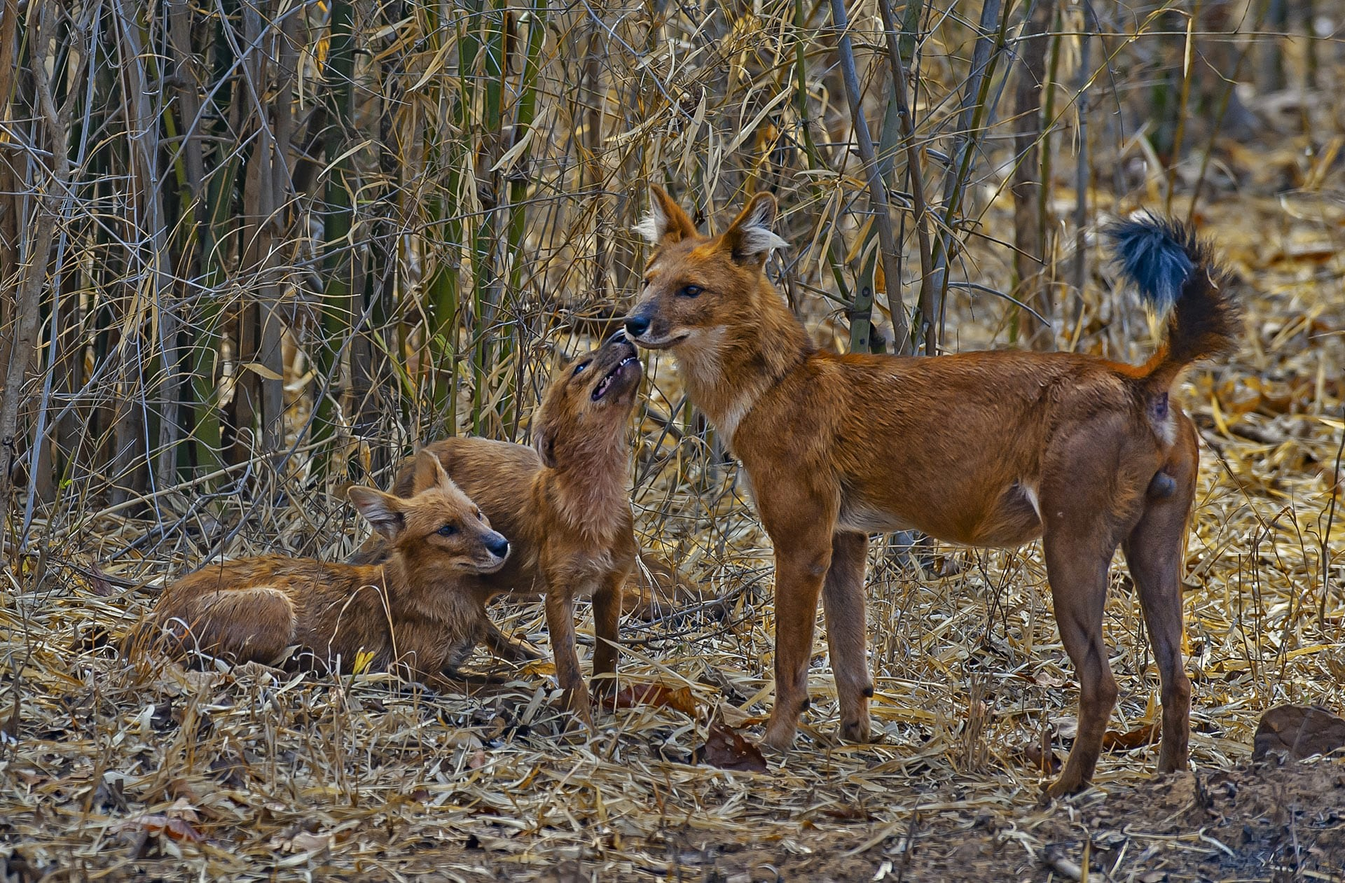 Adult dholes like this alpha male will regurgitate food to feed their young. The pups begin to accompany the pack on hunts when they are about six months old. Photo: Dhritiman Mukherjee