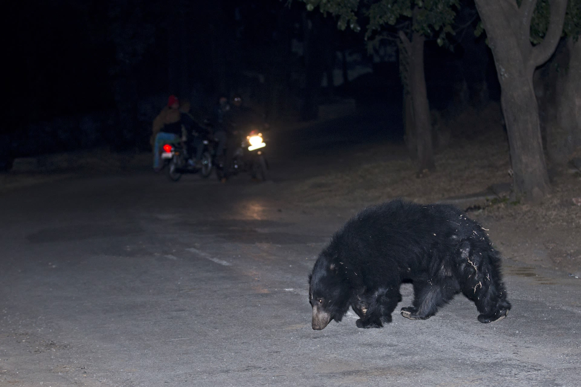 Sloth bears often wander out of the confines of protected areas in search of food and water as seen in this image from the Ratanmahal Sloth Bear Sanctuary. As bear habitats across the country become increasingly fragmented due to infrastructure projects and changing land use patterns, encounters with humans are on the rise. Photo: Vickey Chauhan, CC BY-SA 4.0