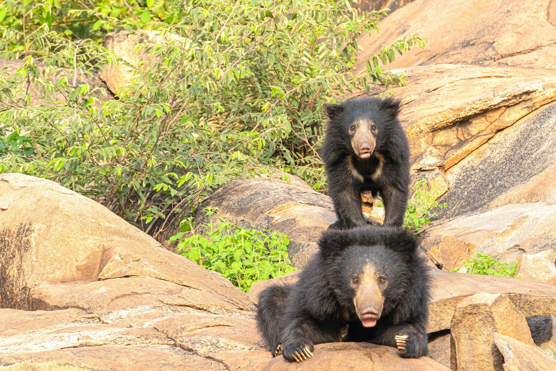 """(Top) India has four wildlife sanctuaries dedicated to the sloth bears – Daroji (pictured here) and Gudekote in Karnataka and Jessore and Ratanmahal in Gujarat. Though they are distributed from the foothills of the Himalayas to the southern tip of the Indian peninsula, the Western Ghats and the forests of central India are where there are most likely to be seen. (Above) Sloth bears carry their young on their back. The cubs stay with their mother till they are about two years old. Photos: Akshay Manwani  Cover photo: Sloth bears are the most common of the four species of bears found in India. These bears can be distinguished by their long muzzle, protruding lips, and the distinctive white """"V"""" chevron on their chests.  Cover photo: Akshay Manwani"""