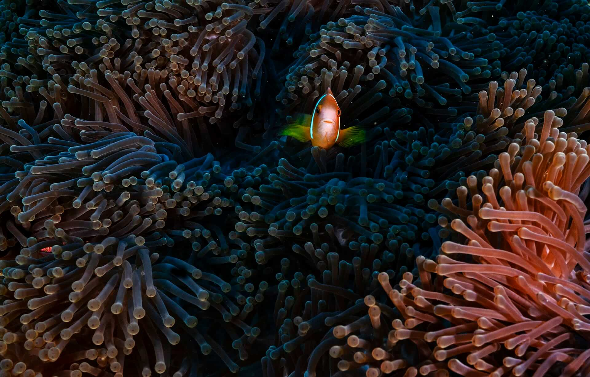 Commonly known as the Maldives anemonefish (Amphiprion nigripes), this species is actually endemic to the coral reefs of Lakshadweep, Maldives and Sri Lanka.  Deep seas and short larval dispersal periods have restricted their populations to these isles.