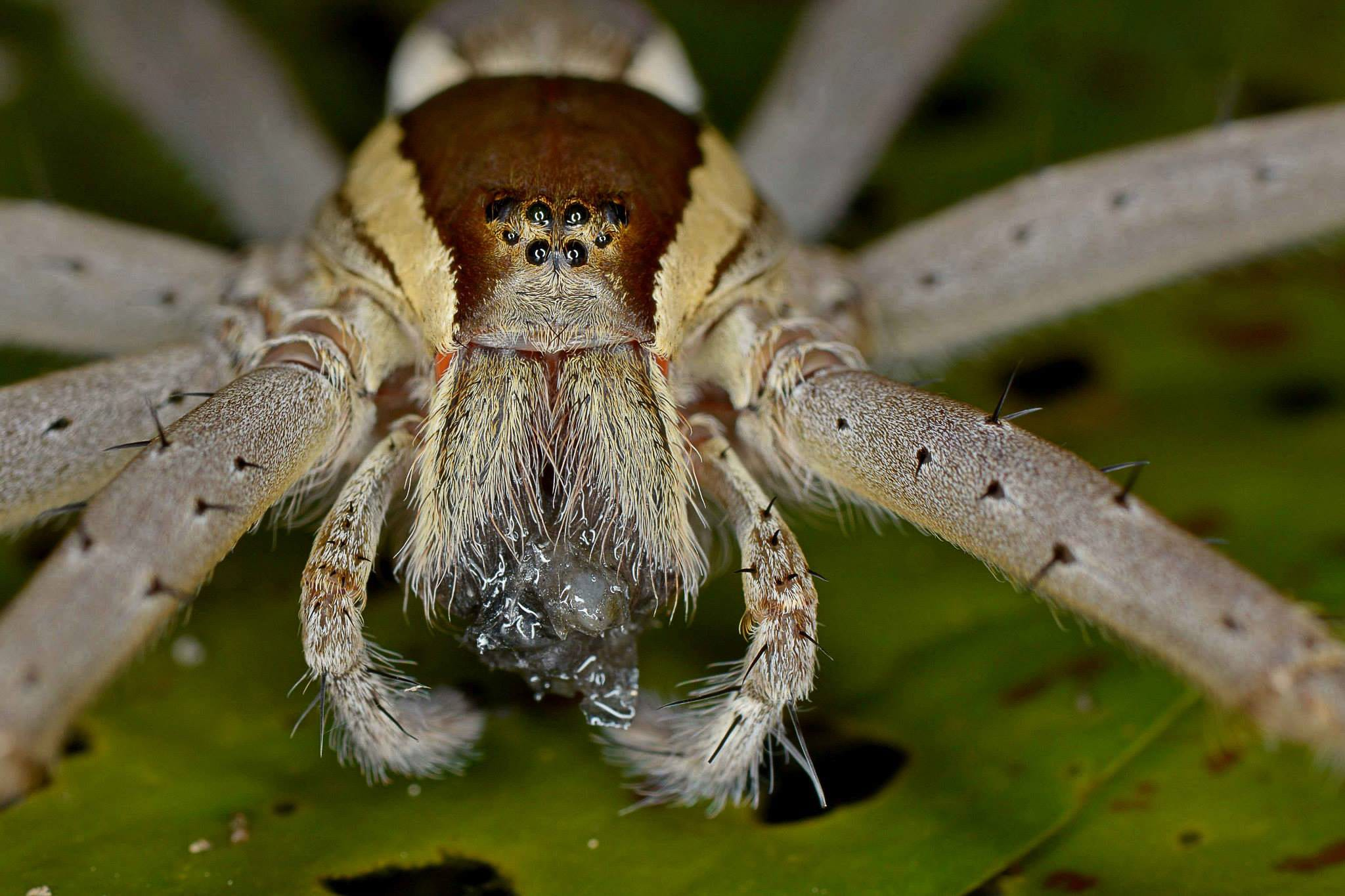 """These unique spiders sense their prey by feeling vibrations carried through the water. Like other spiders that feel vibrations in a web by means of tiny, extremely sensitive hair called trichobothria on their legs, the fishing spider detects these vibrations in water. On sensing prey, the spider quickly pounces, injecting the catch with neurotoxin and paralysing it. The victorious hunter then retreats to the vegetation or a nearby rock to consume its catch. """"The entire process of eating its catch takes around 40 minutes,"""" notes Biswas. The passing prey could also include insects like striders which are a large art of their diet and other invertebrates like tadpoles and frogs."""