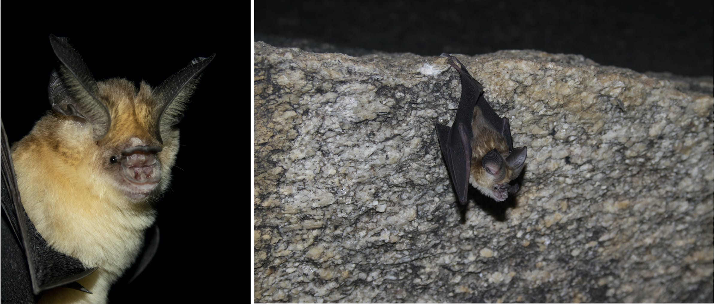(Left) The Kolar leaf-nosed bat is a small species of bat weighing about 4 grams. It is recognised also by its brownish-black and golden fur.  Photo: Rajesh Puttaswamaiah