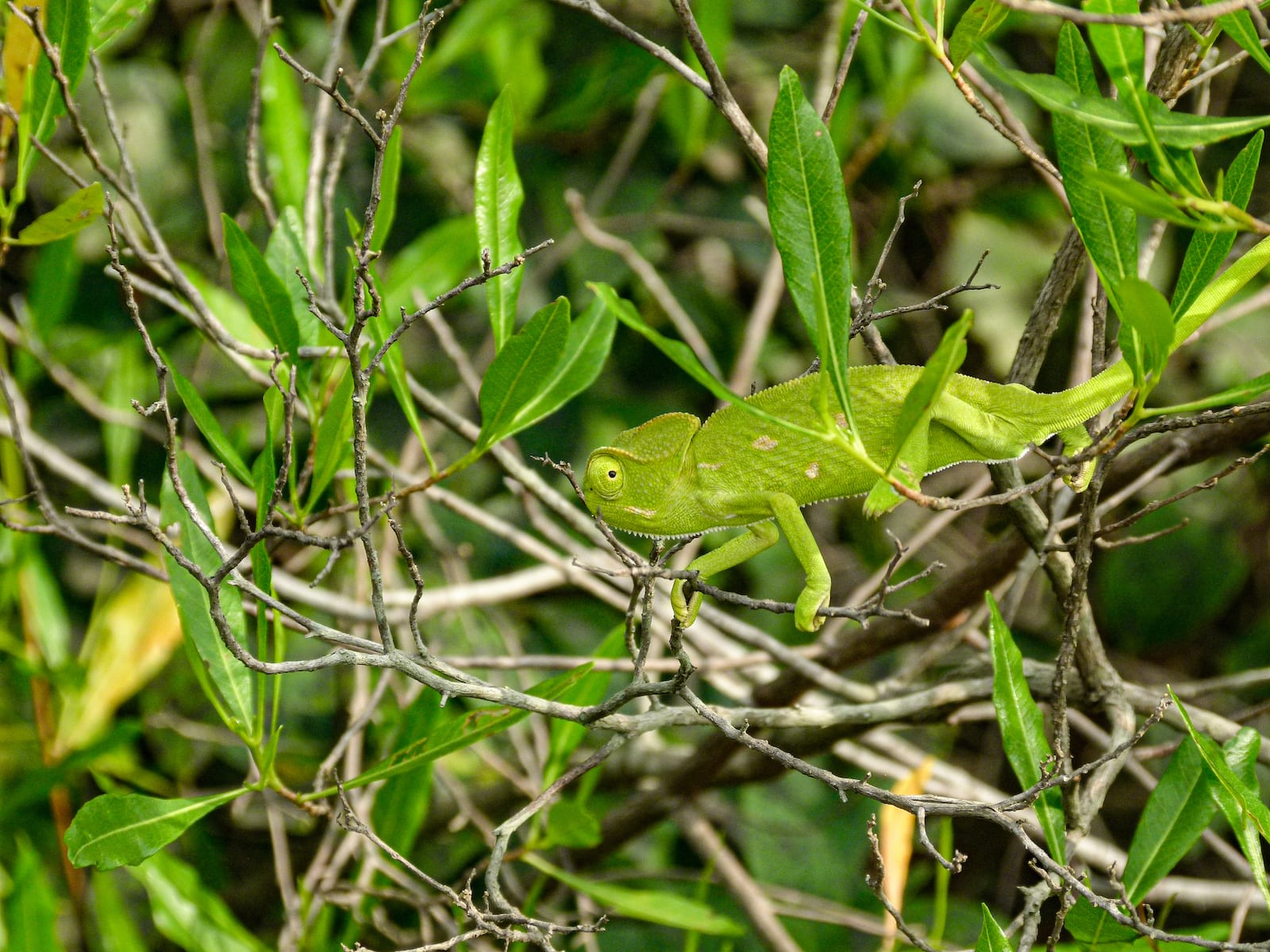 A chameleon watches warily as it basks on a sun-loving shrub, Dodonaea angustifolia. Resistant to strong winds and able to withstand droughts, the shrub keeps a check on soil erosion. Photo: Pranav Balasubramanian  Cover photo: The Ficus benghalensis, commonly known as the banyan, is one of the more common ficus species found in the tropical dry evergreen forests along the Coromandel coast of India.  Cover photo: Photo: PJeganathan, CC BY-SA 4.0