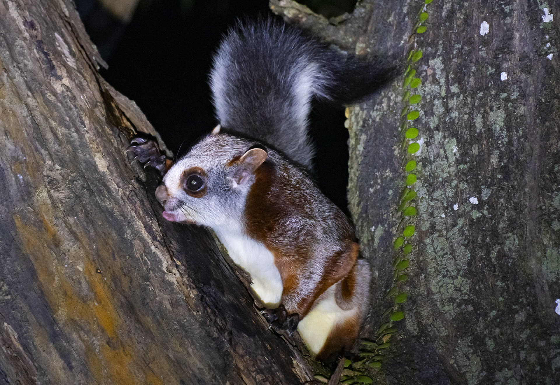 Red giant squirrels spend their days climbing and gliding through the forest canopy. They feed on largely leaves and berries, and rarely descend to ground level. Occasionally, the squirrels also eat bits of tree bark and sap, as is pictured here.