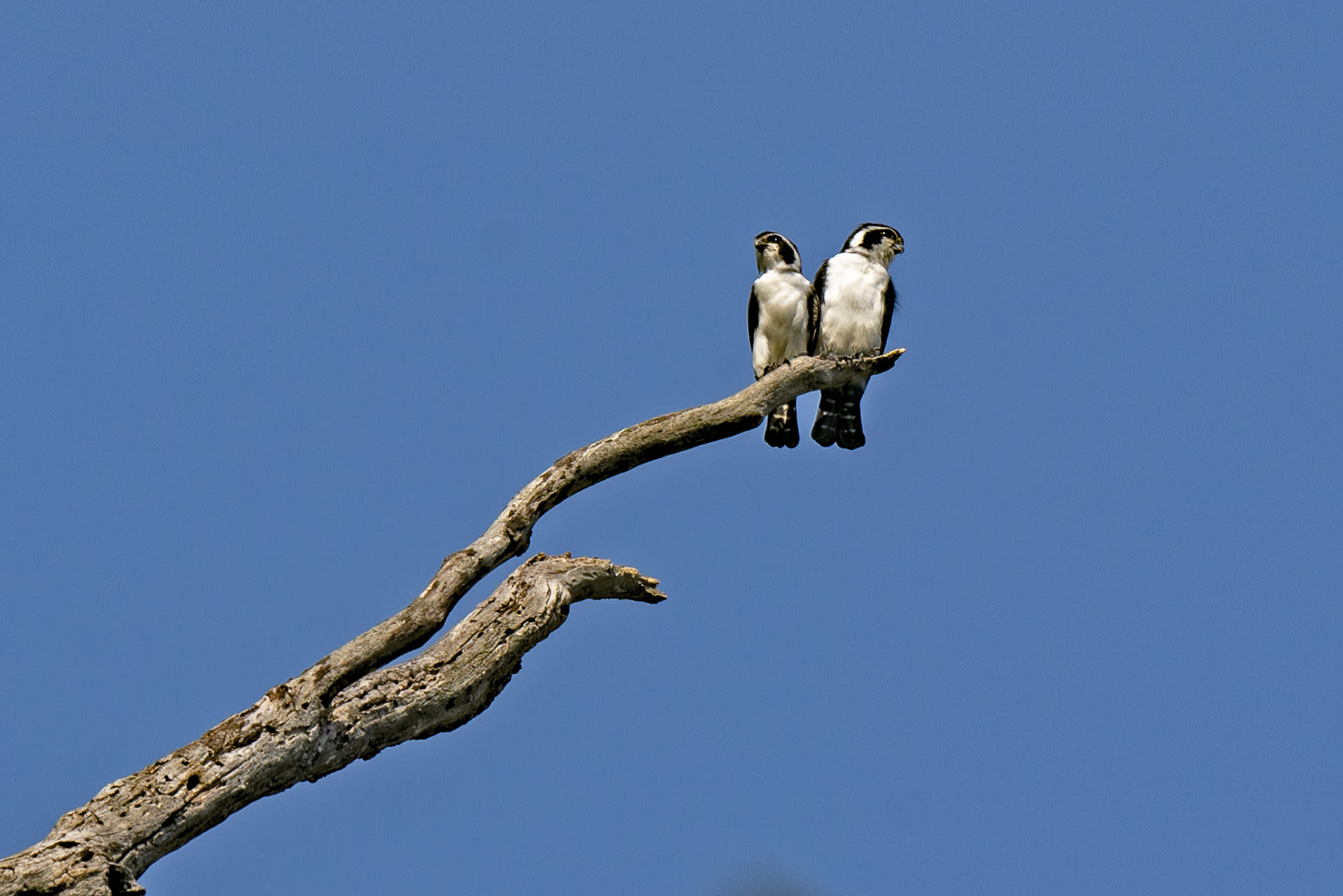 Pied falconets (Microhierax melanoleucos) are another Himalayan species that inhabit the foothills of the mountain range in Arunachal Pradesh. Studies in Namdapha report an endearing courtship ritual, where males present females with leaves, presumably to indicate his commitment to nest-building. During breeding, the birds occupy holes in trees made by barbets and woodpeckers, laid with organic material foraged from the forest.