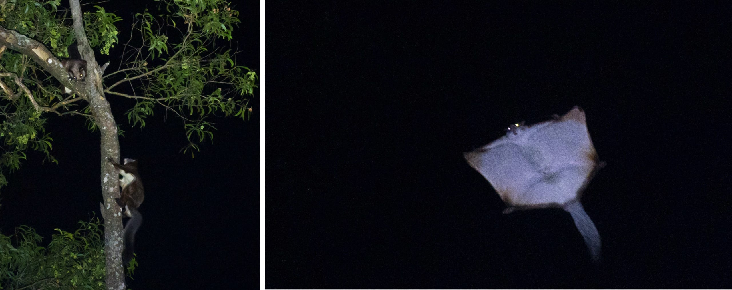 """The red giant squirrel (Petaurista petaurista) is another high-canopy dweller that can be seen after dark. These squirrels have a veil-like membrane between their limbs, which they use to glide from higher points in the canopy to lower branches. The photo on the left shows a male climbing up a tree trunk, while a female waits above. """"The male kept going up and down, up and down, again and again,"""" Mukherjee recalls. """"It looked to me like he was dancing."""""""
