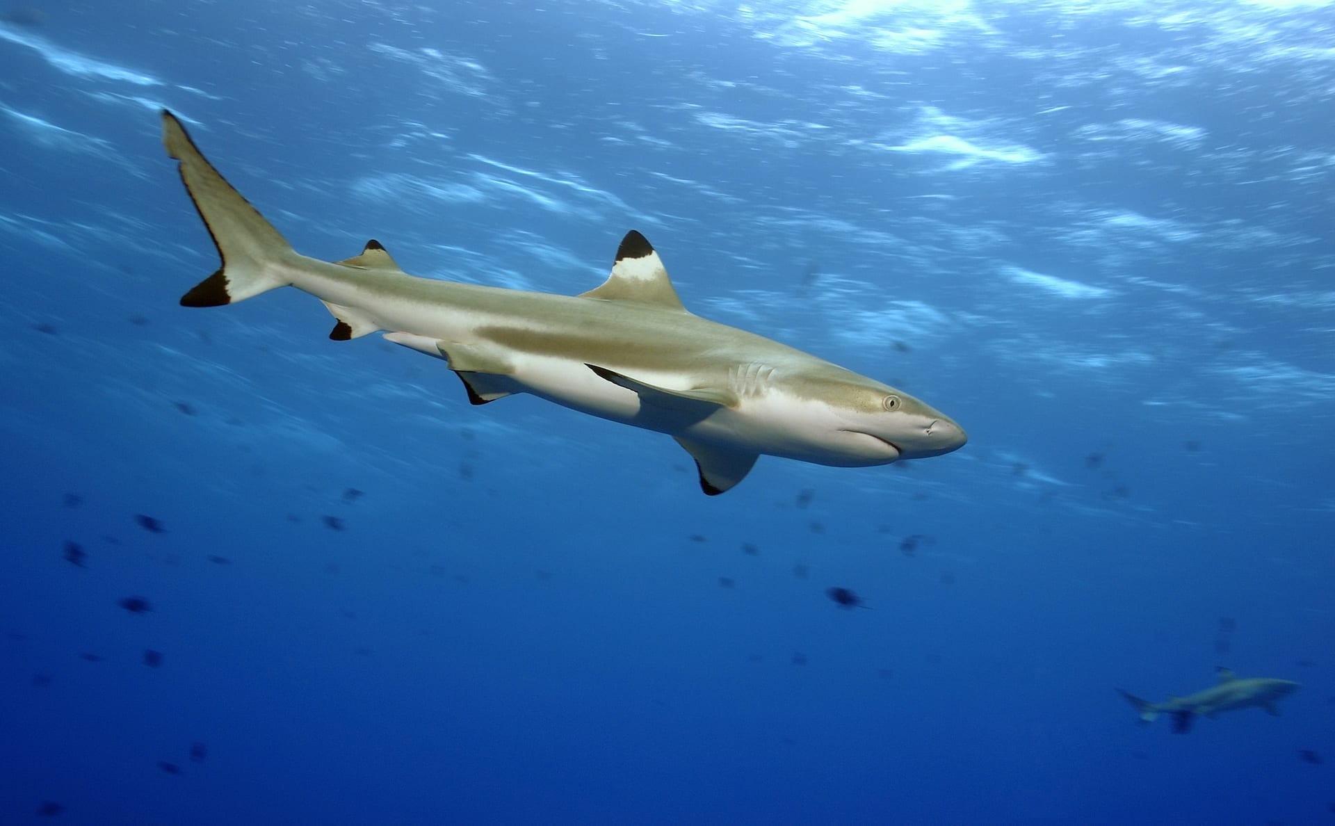 The blacktip reef shark is a regular catch of coastal fisheries, such as those operating off Thailand and India, but is not targeted or considered commercially important. Photo: Yann hubert/Shutterstock