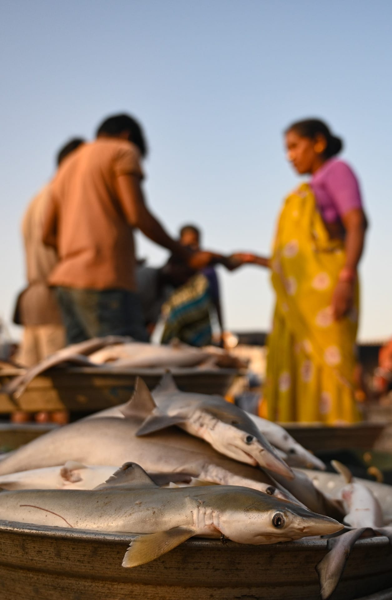 Shark pups are regularly sold in markets, not just in Goa but across coastal states in India. Photo: Srikanth Mannepuri