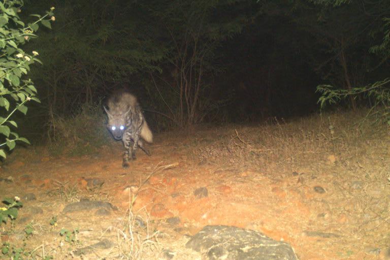 Camera trap image of a striped hyena in the Haryana Aravallis. Photo: Sunil Harsana