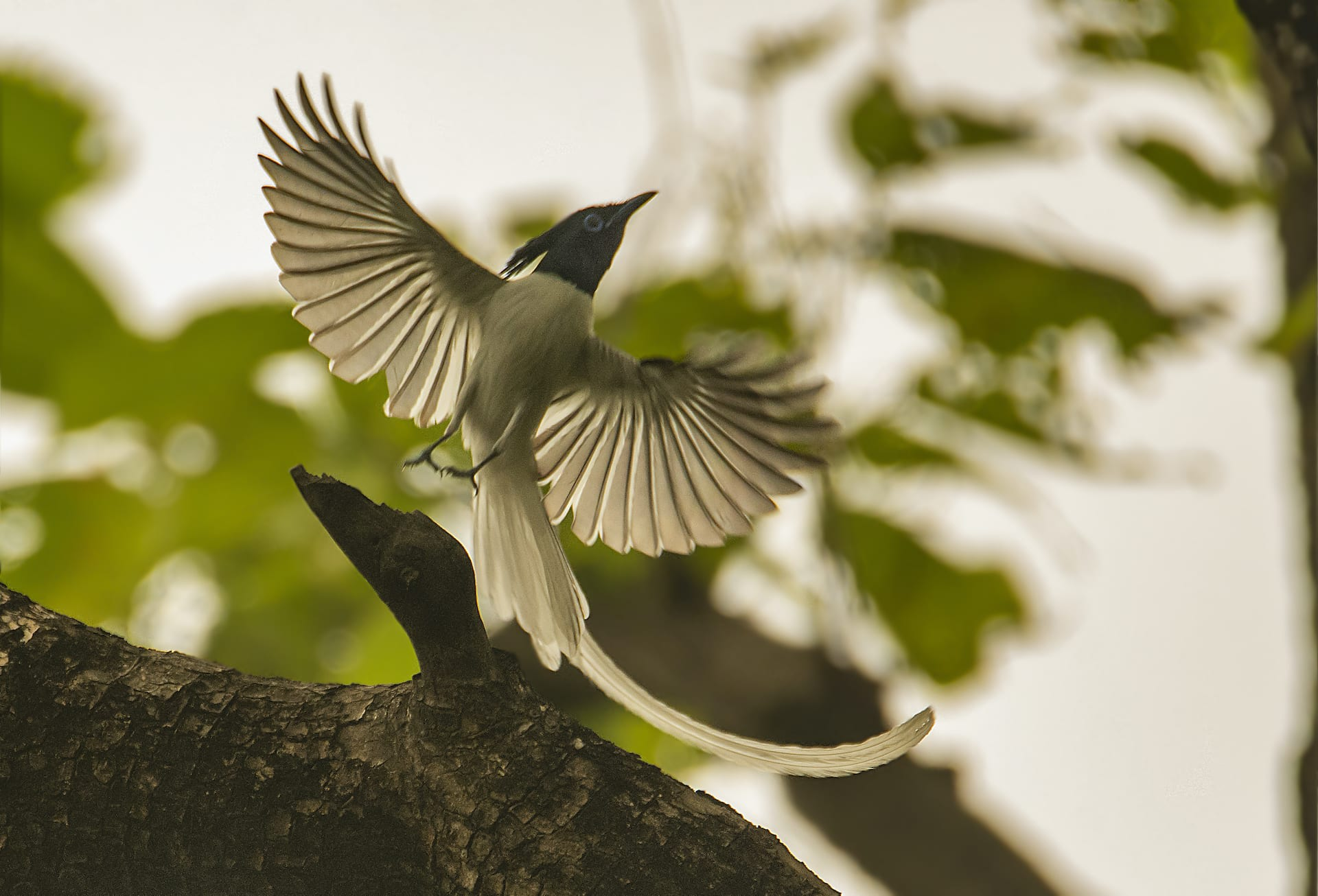 One is most likely to spot this enchanting bird, that seems to have stepped right out of a fairy tale, in wooded areas.