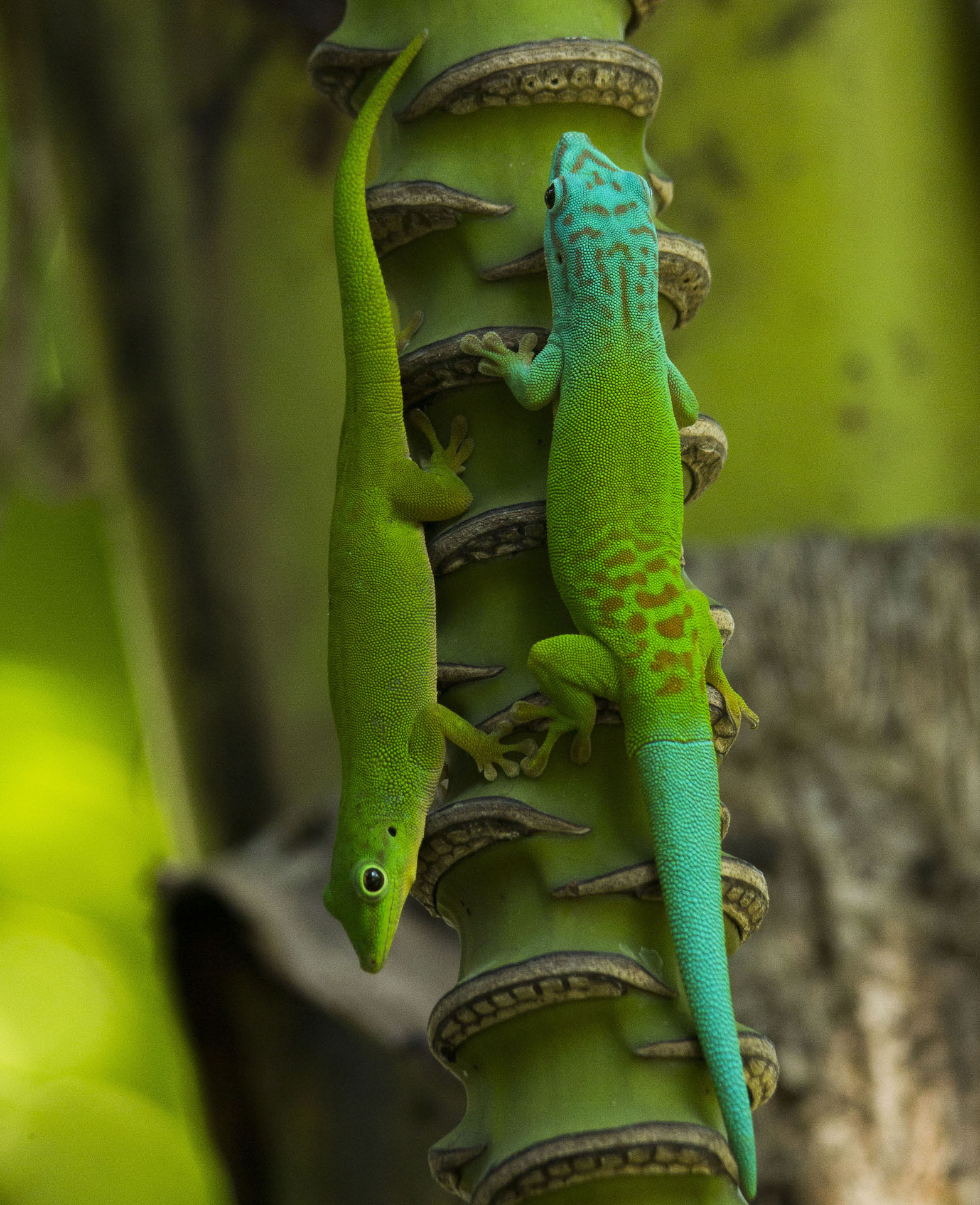 Endowed with a bluish-turquoise head and tail, the male gecko (right) is larger than the female, which is evenly green.  Photo: Sanjay Prasad