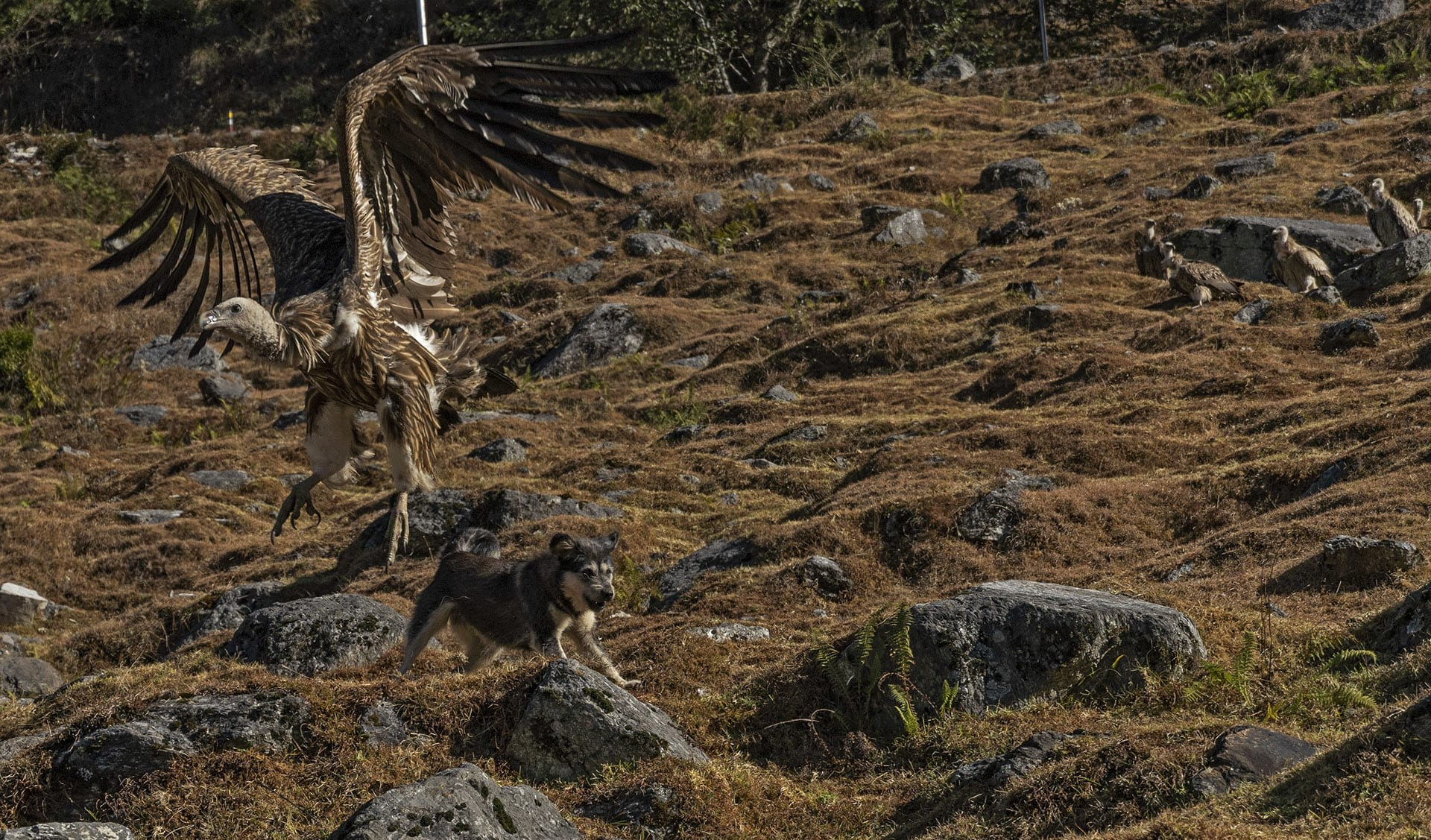 Indian wildlife faces a massive threat from free-ranging stray dogs. With 60 million of them spread across the country, India has the fourth-highest population of these dogs in the world. After the mass death of vultures due to diclofenac, free-ranging dogs consumed carcasses in their absence. Vulture populations rose after the ban on diclofenac but these dogs became their new competition and often got chased away by them. A similar case can be seen here where a free-ranging stray dog chases away a Himalayan griffon. These dogs not only compete with wildlife for food but also spread diseases that can cause mass deaths of wild animals.