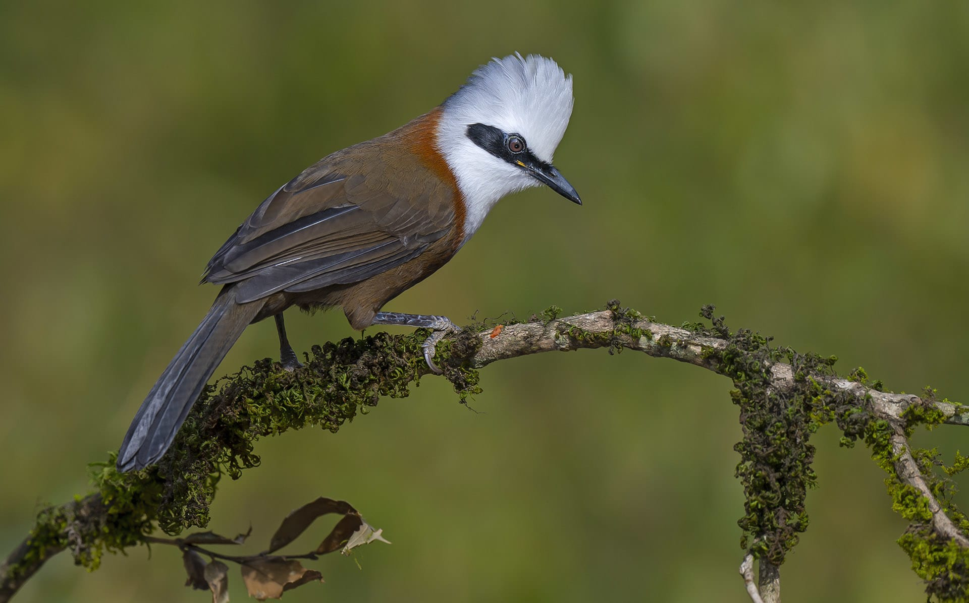 In a study conducted at the popular tourist hotspot of Nainital, experts found that insectivores like the rufous-bellied niltava (Niltava sundara) (top left), rusty-cheeked babbler (Pomothorhinus erythorgenys) (top right) and white-crested laughing thrush (Garrulax leucolophus) (above) are dominant in mixed pine forests. The mid-elevational zone (1,350m-1,800m) provides abundant food resources, roosting sites, and shelter to such bird communities. These mixed pine forests mainly consist of cheer pine and oak.